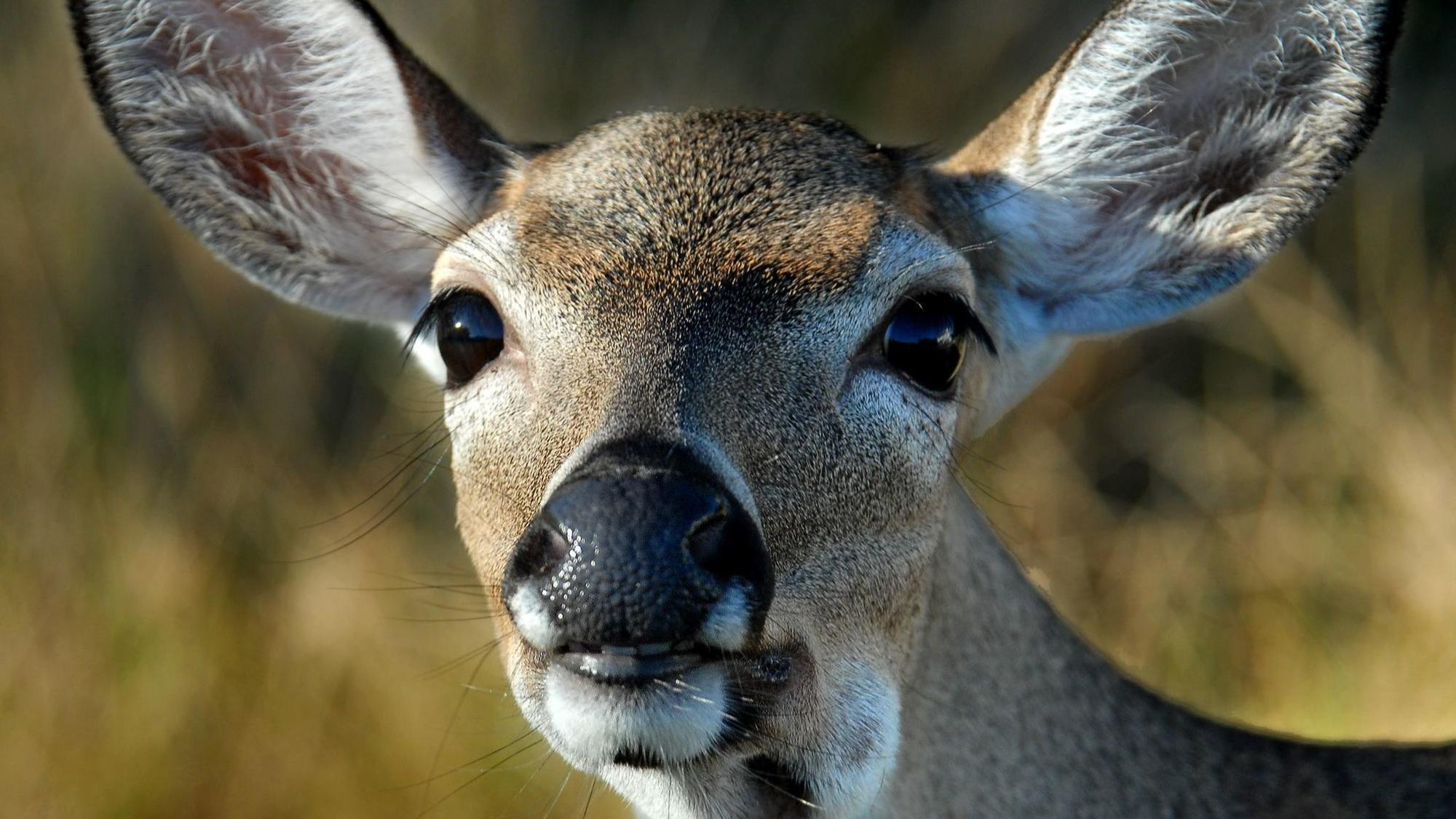 When the Trumpies disparage Florida Key deer, they've gone too far ...