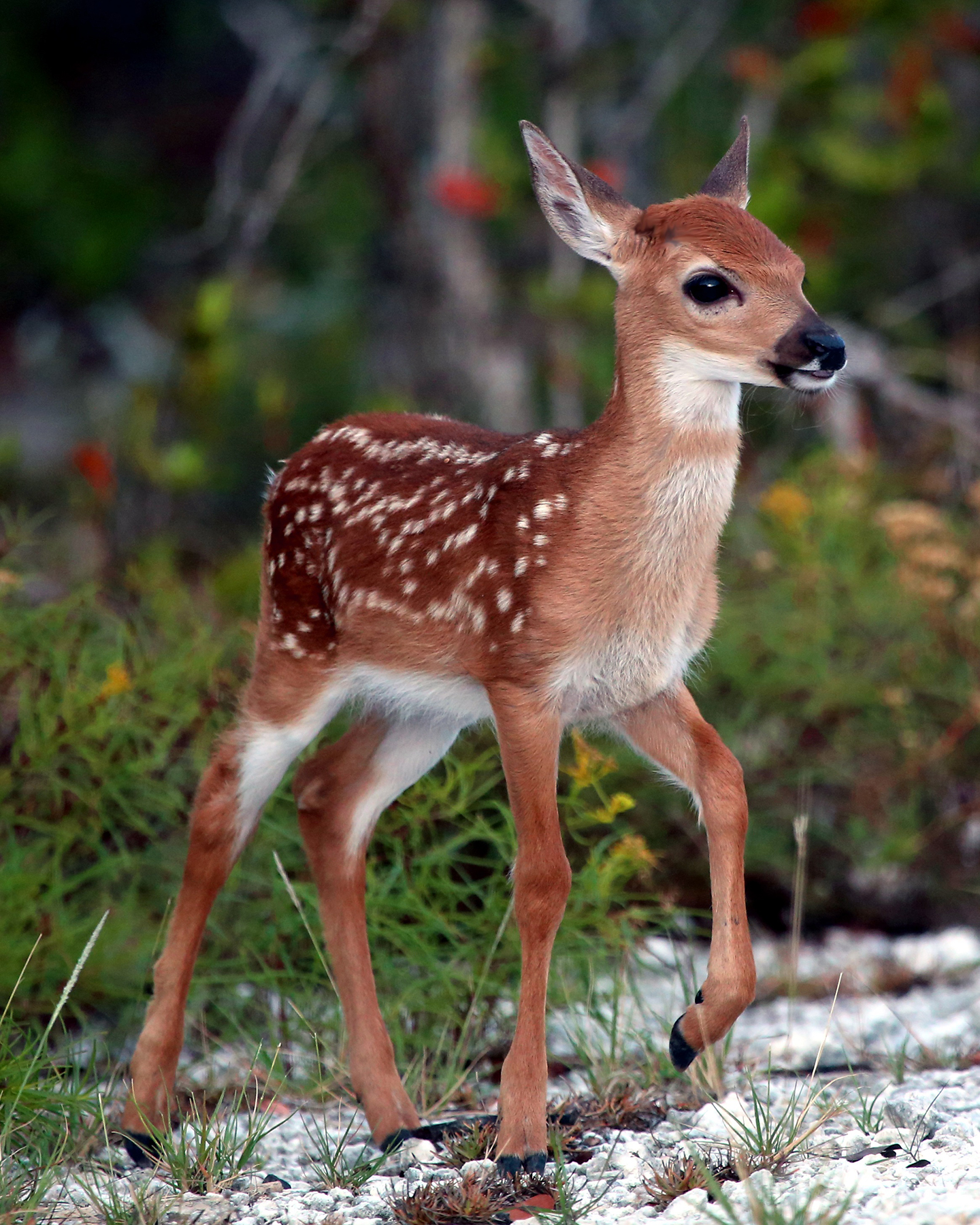 Key West The Newspaper - Refuge Manager: Key Deer Screwworm Threat ...