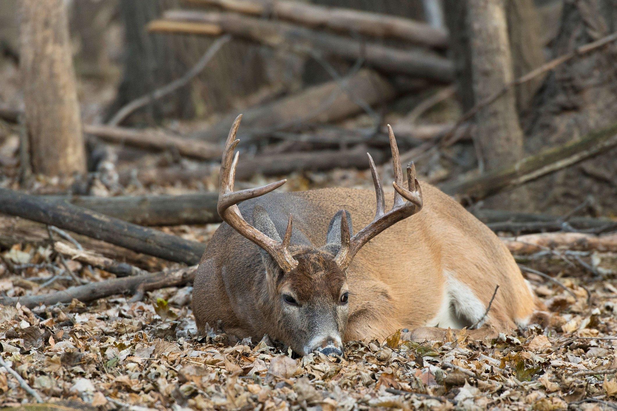 Where do deer sleep? - Grand View Outdoors