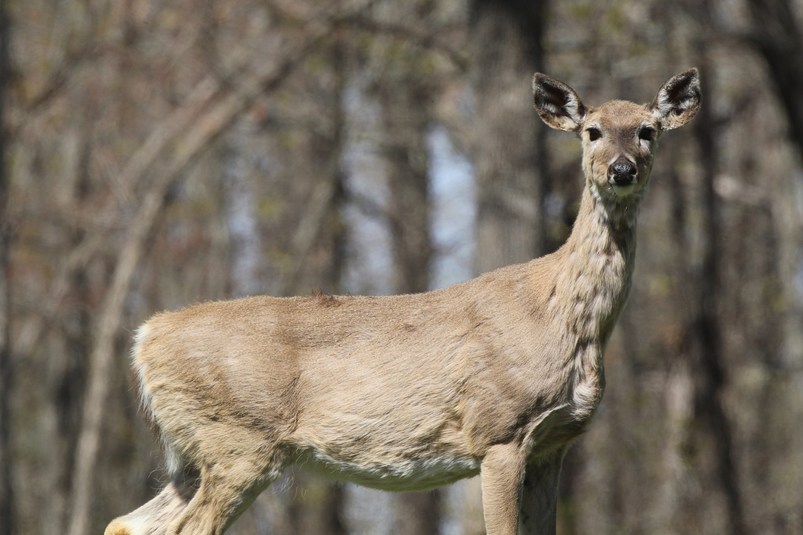 The Smoking Gun: Does CWD Drive Whitetail Population Declines?