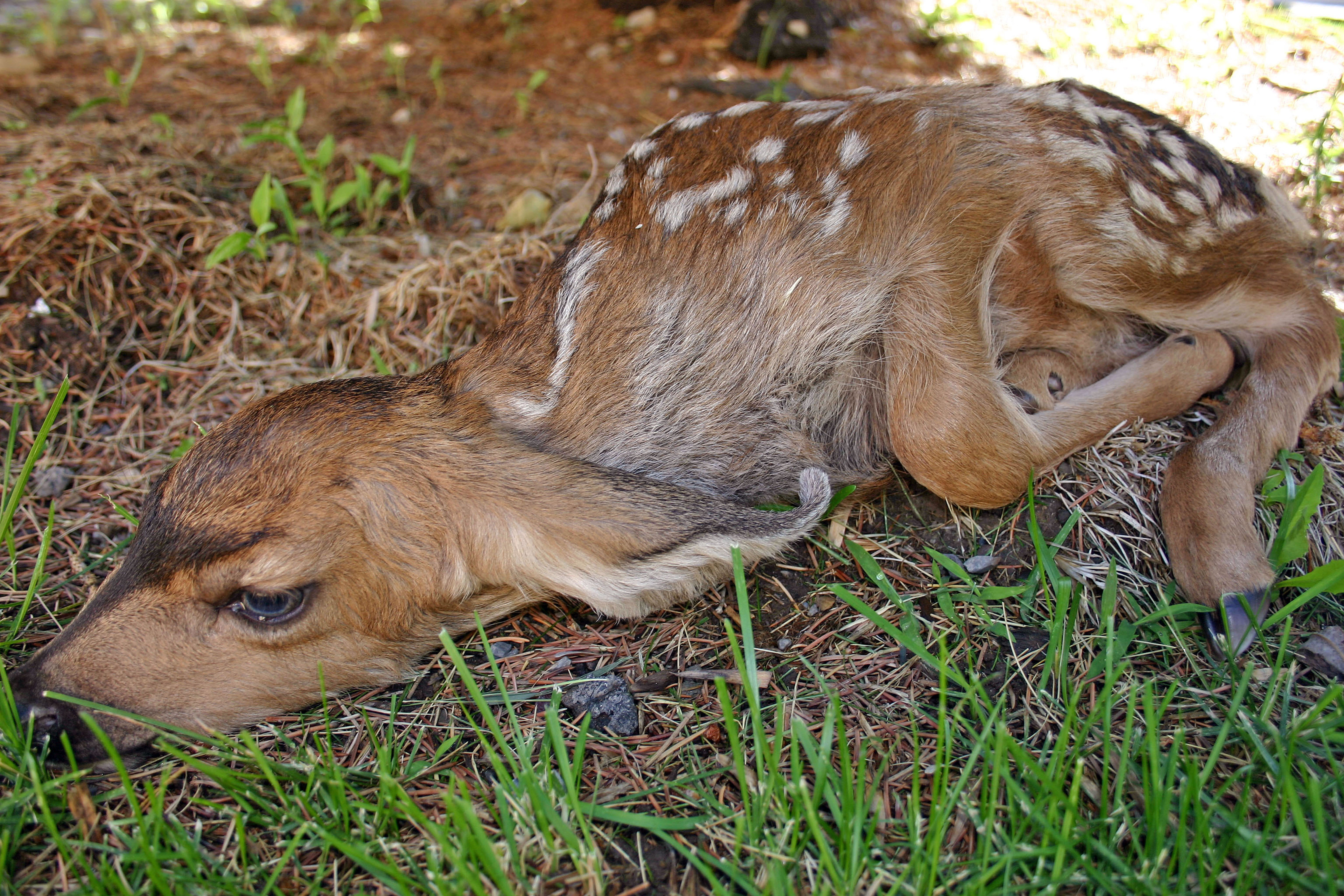 What to do if you encounter deer fawn – St George News