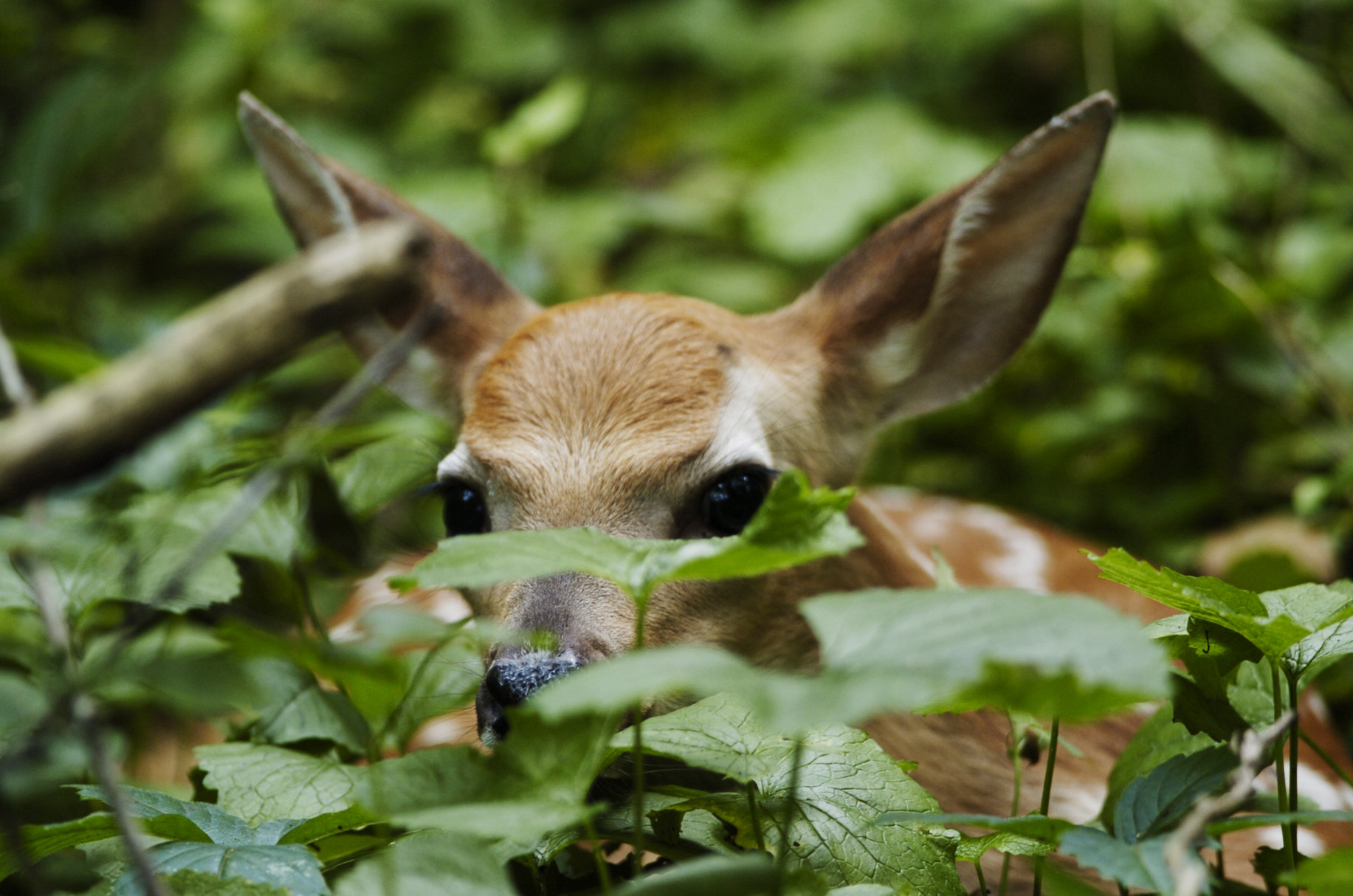 That deer fawn isn't in trouble, please leave it alone, DNR says ...