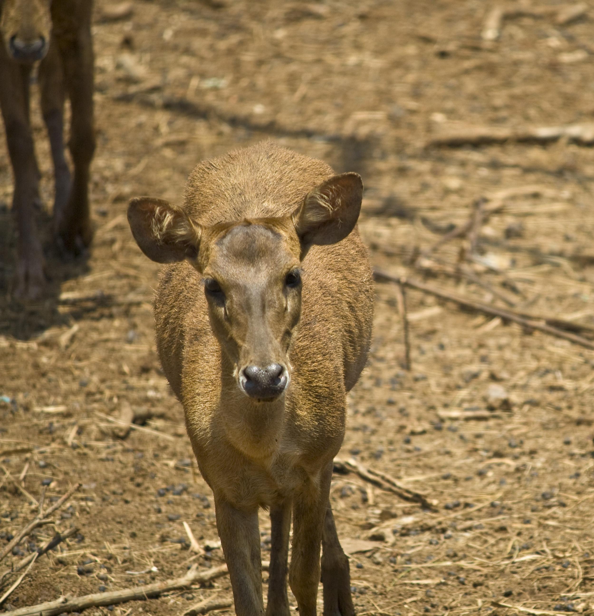 Deer buck photo