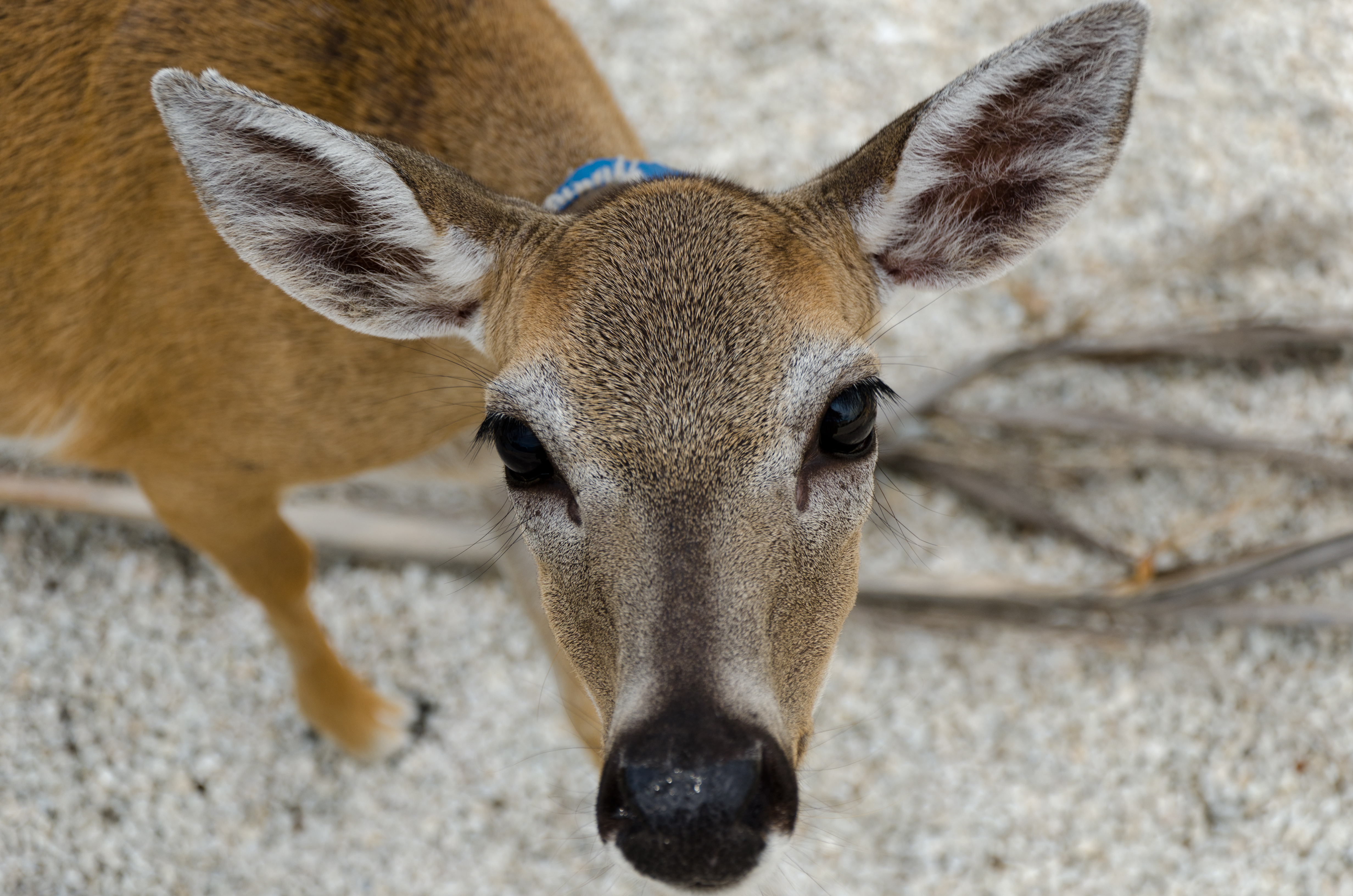File:Close-Up of Key Deer.jpg - Wikimedia Commons