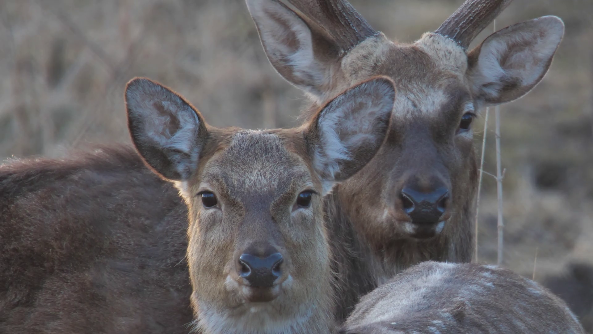 Sika deer. Close-up of the pair. Spotted deer. Stock Video Footage ...