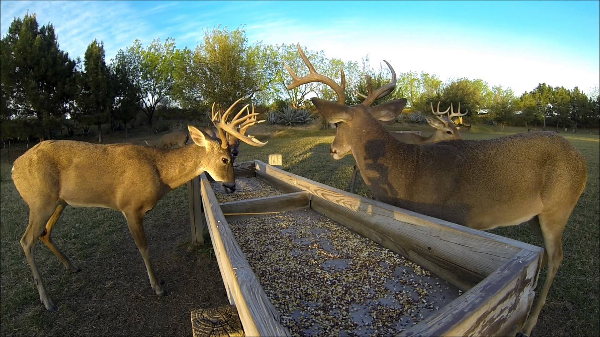 White-Tailed deer at feed trough, La Bota Ranch - YouTube