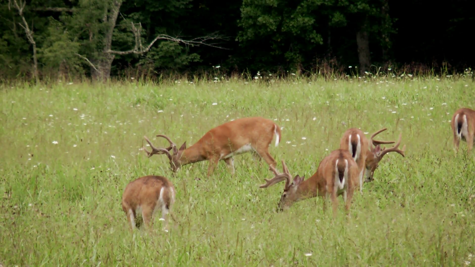 A herd of white tail deer, all bucks with full antlers in a field ...