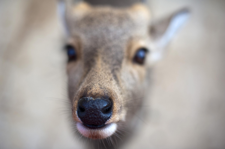Deer Nose-5354 | Stockarch Free Stock Photos