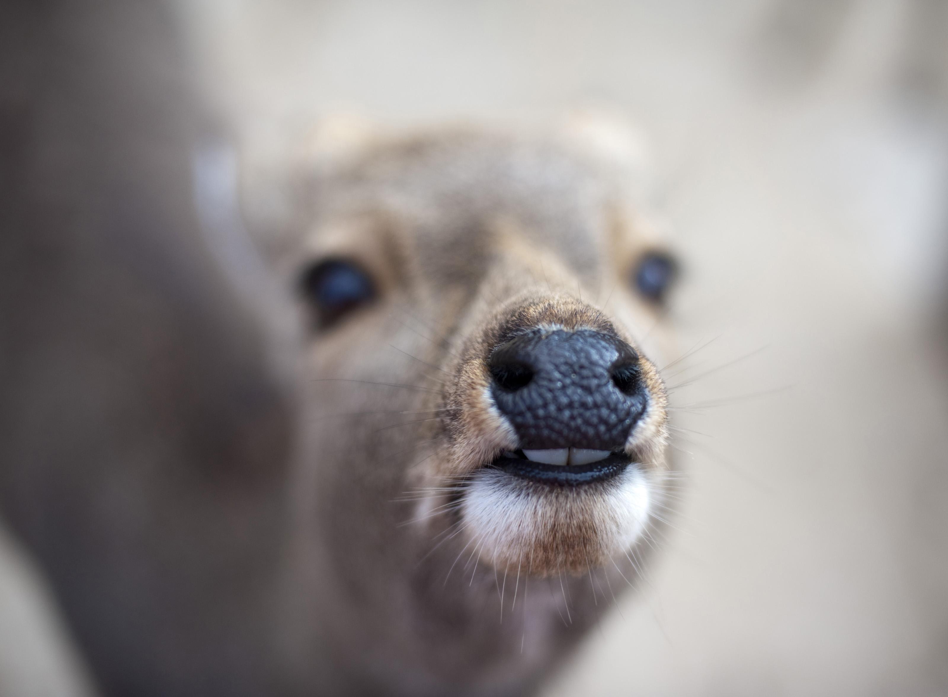 Deer teeth-5592 | Stockarch Free Stock Photos