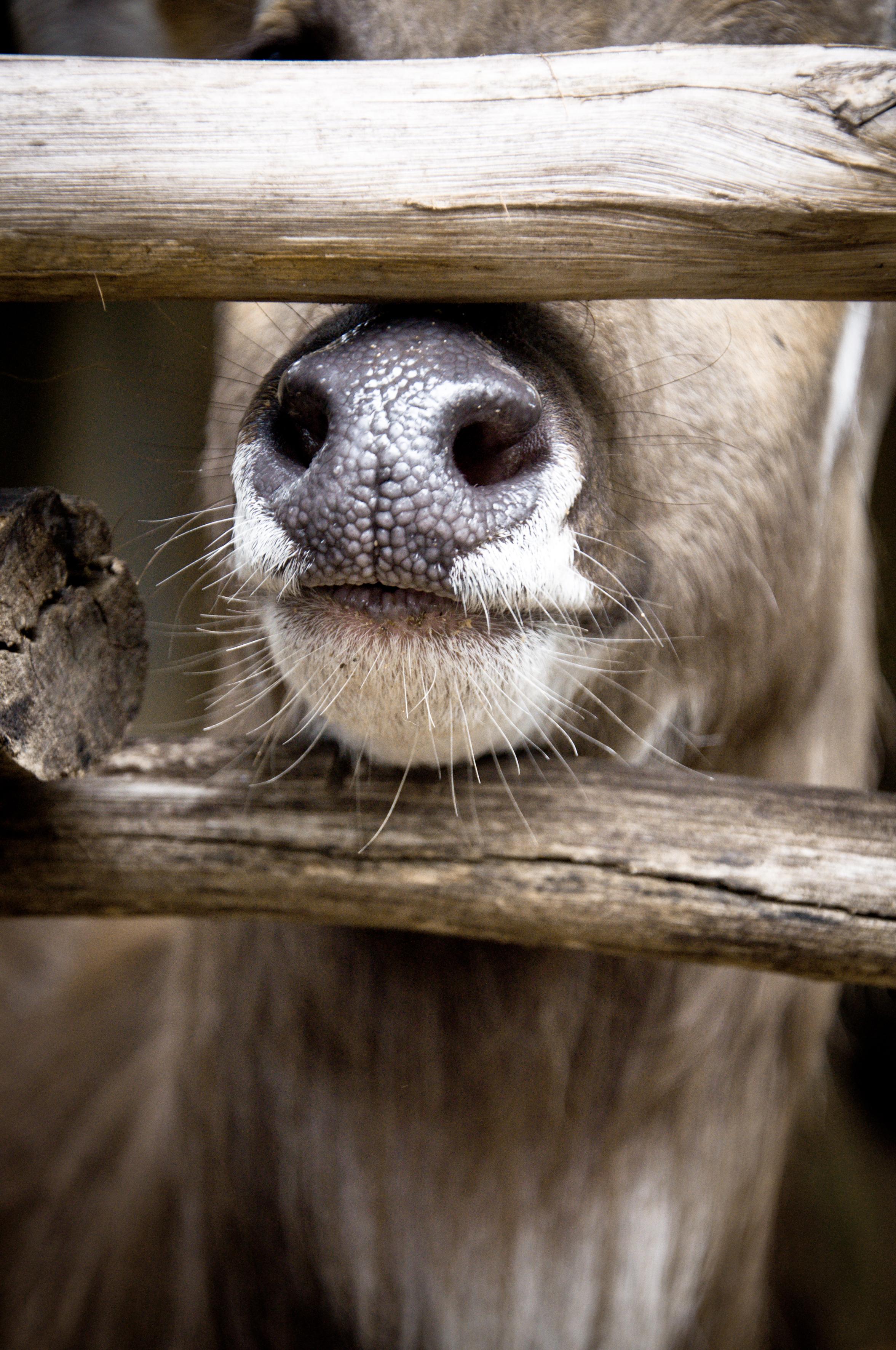 Deer nose, Season, Spring, Stag, Reindeer, HQ Photo