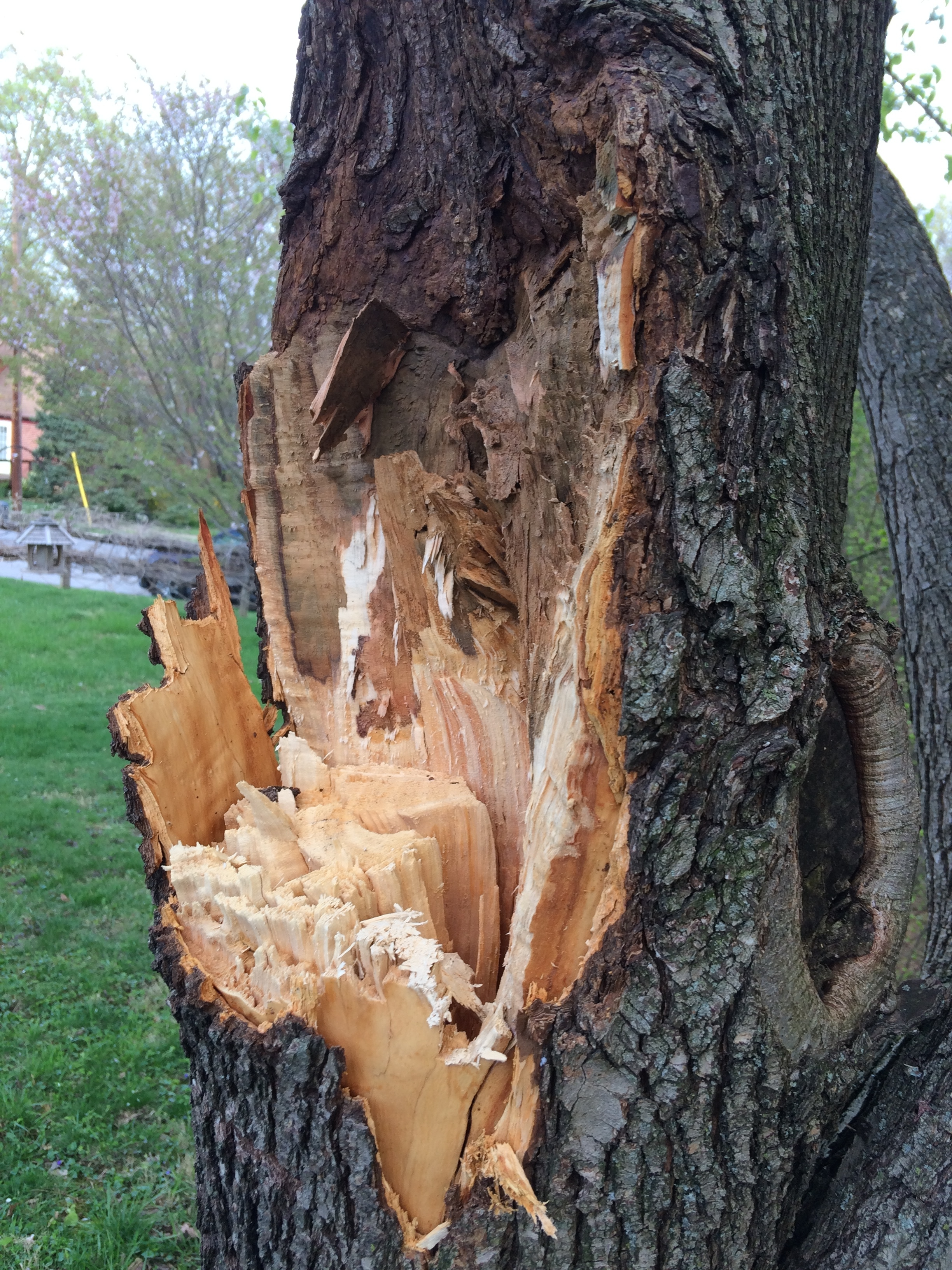 Tree damage caused by wind - Ask an Expert