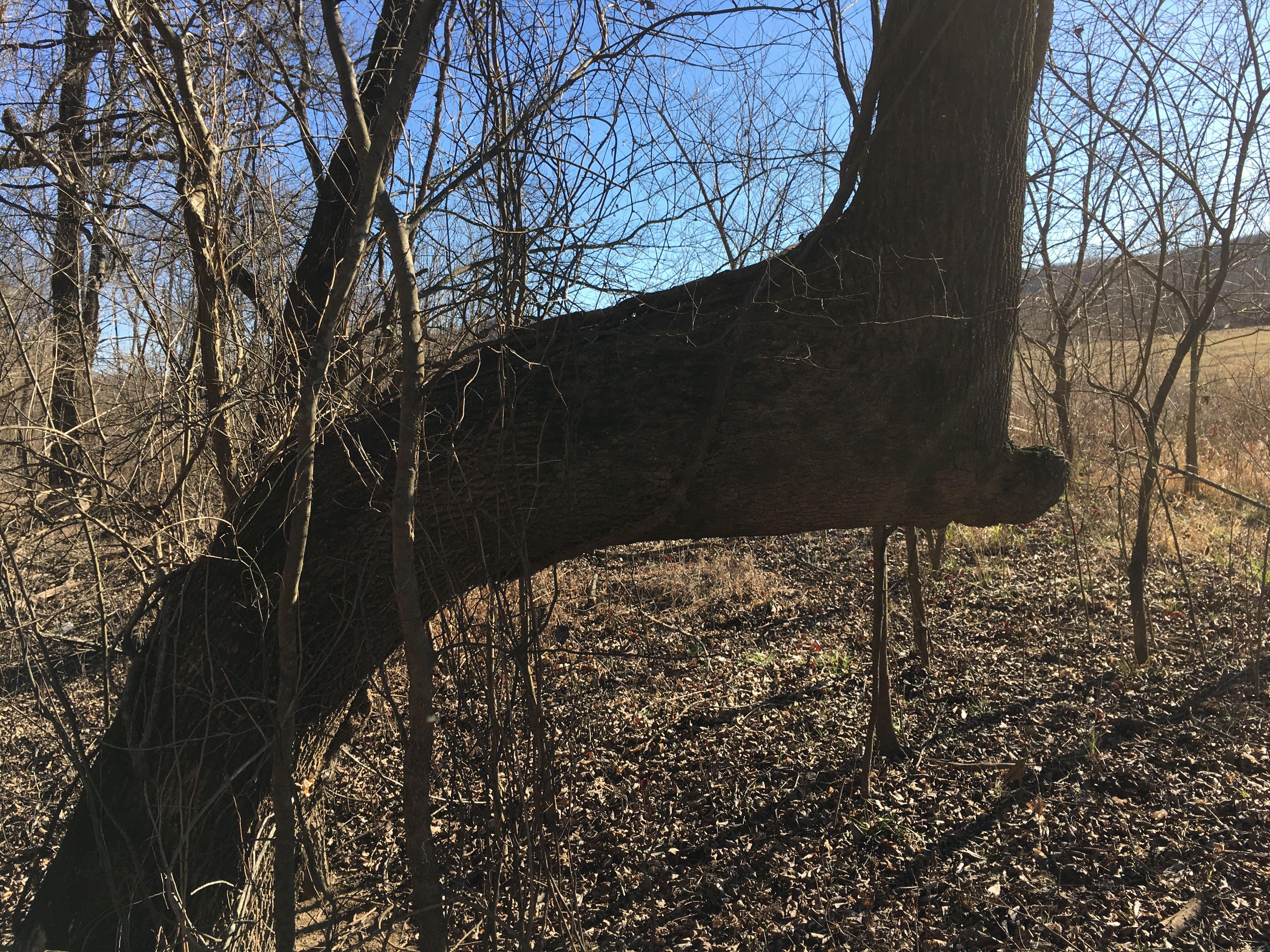 Pin by Sharon Bilgischer on Indian Trail Marker Trees   Pinterest