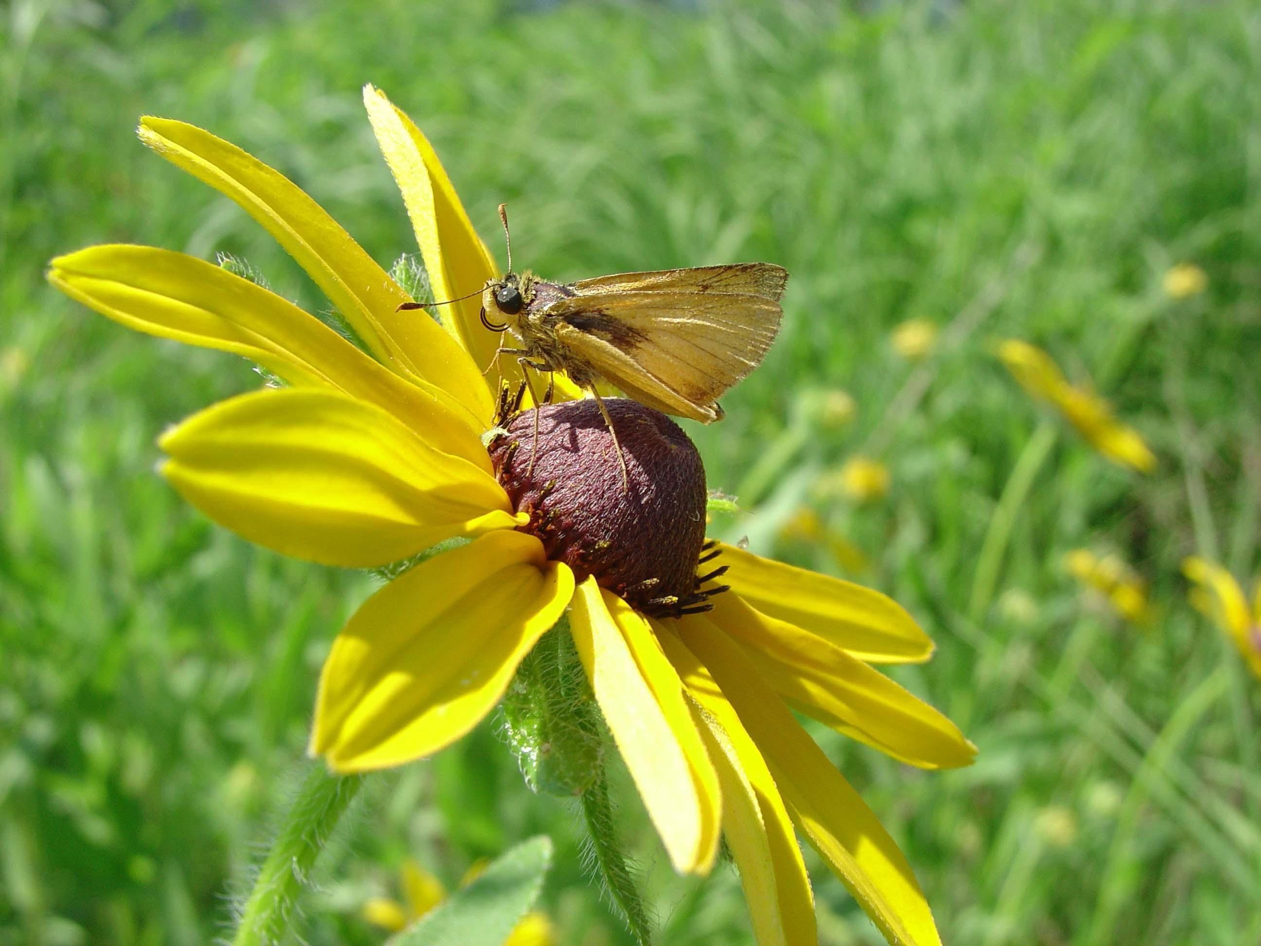 Delaware skipper on the flower photo