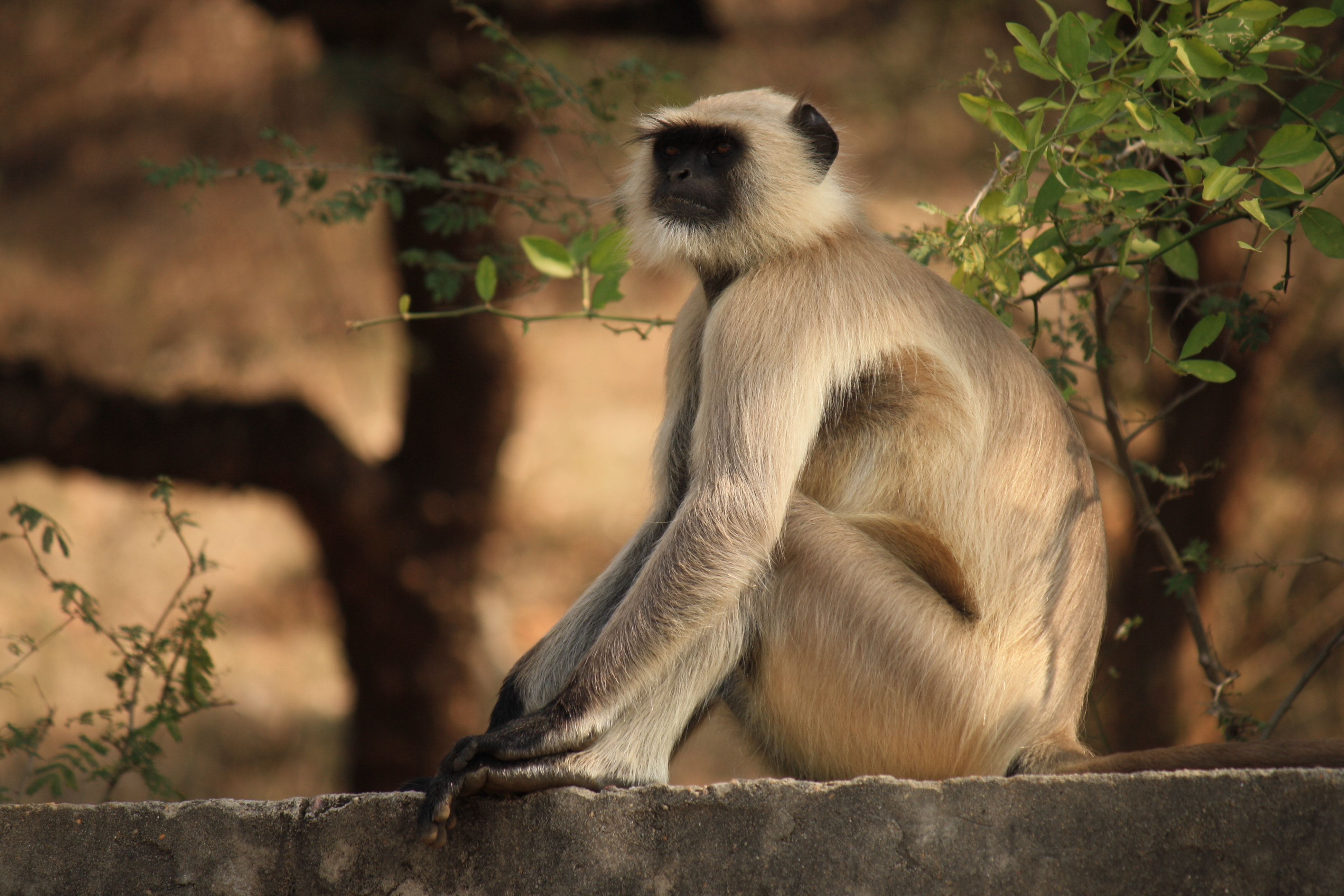 Depth of Field of Gray Langur Sitting on Gray Concrete Surface Near Green Leaf Plant, Animal, Outdoors, Wildlife, Wild, HQ Photo