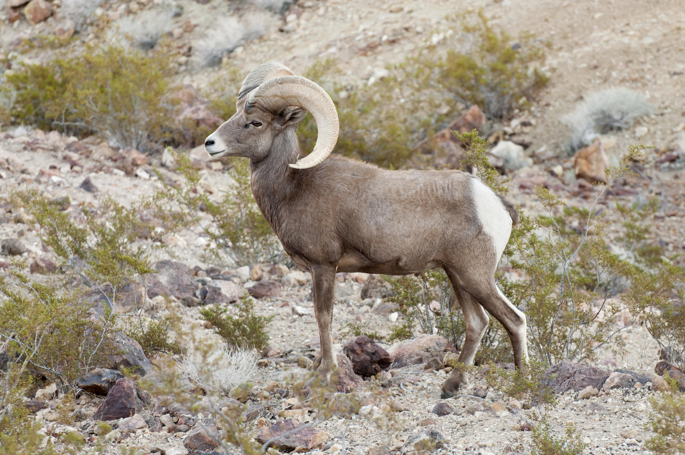 Desert bighorn photo
