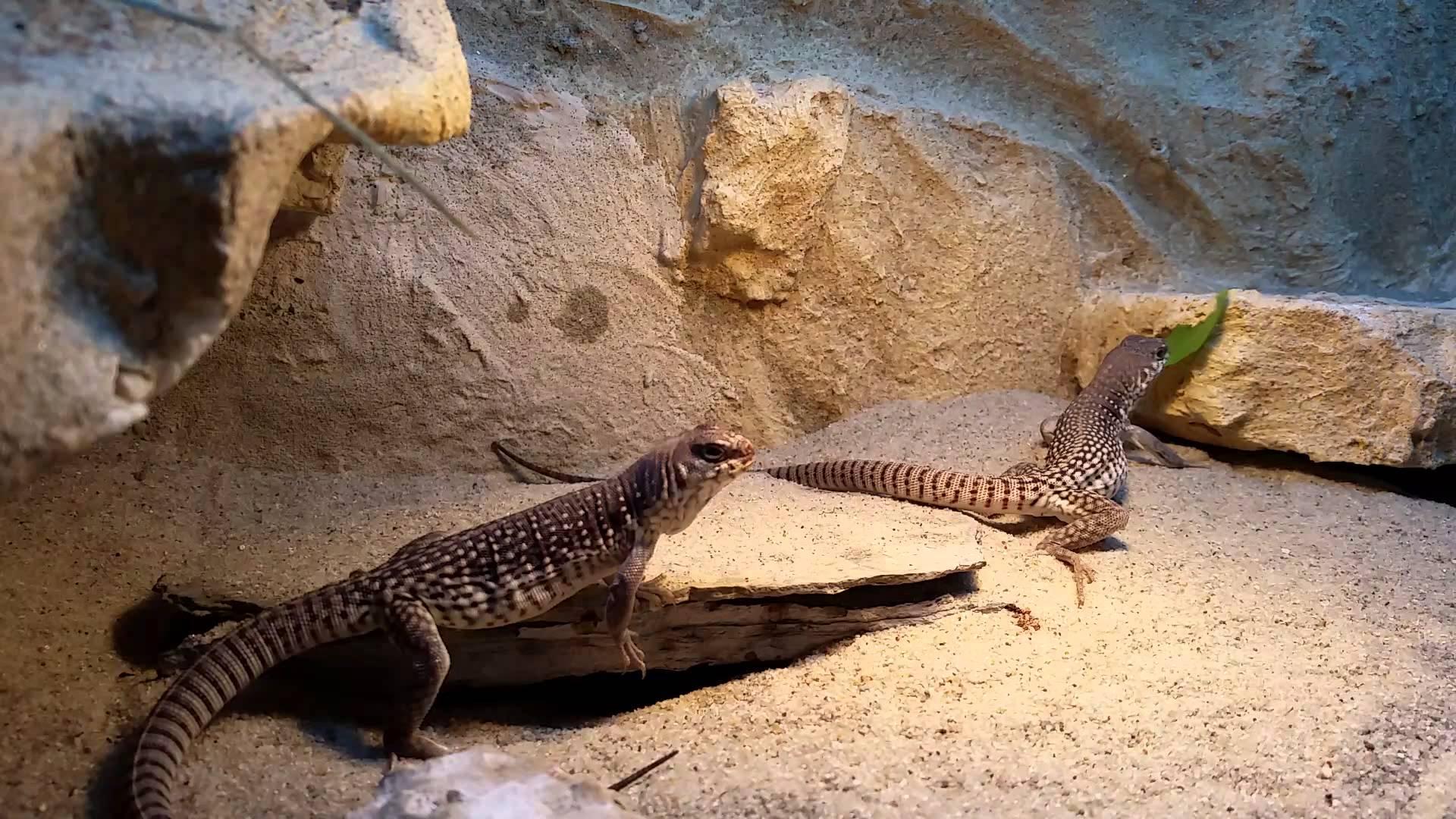 Desert iguana photo