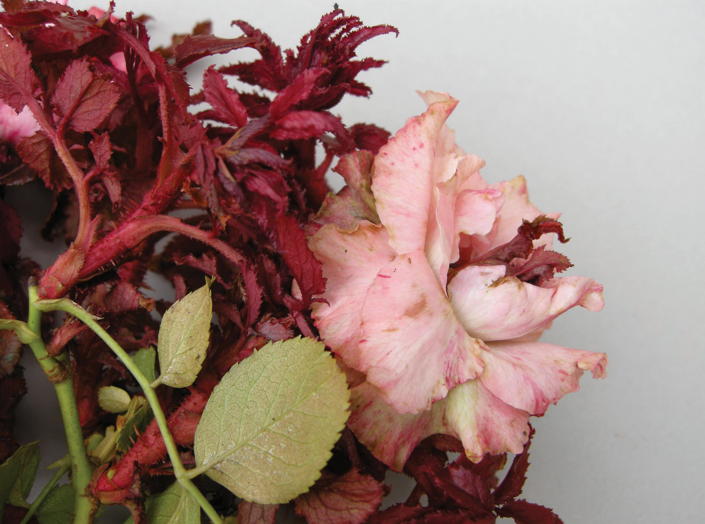 Deadly Rose Rosette Disease Moves Across the Country   State-by ...