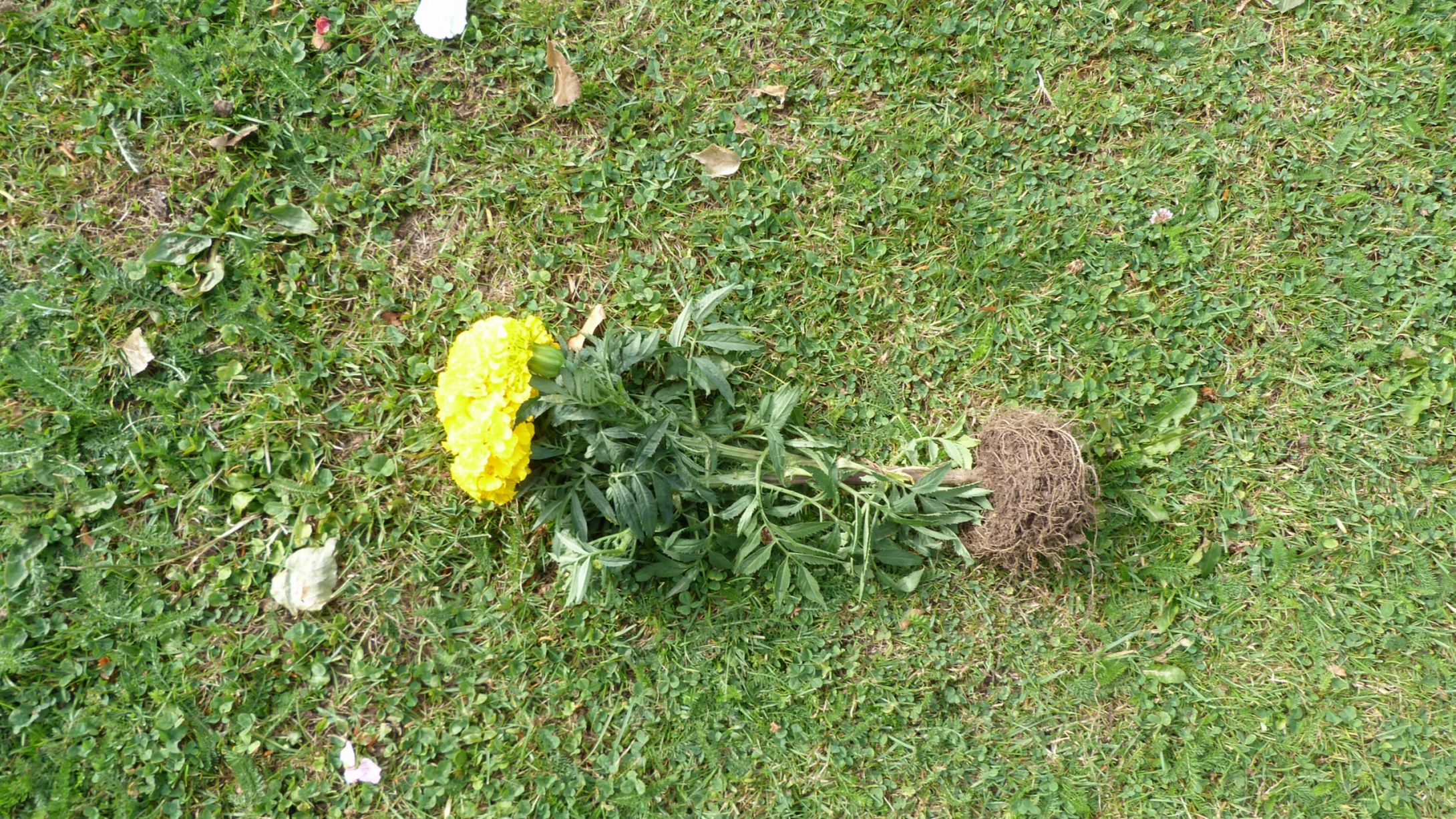 Flower bed vandalism, July 2015 - Hinckley Times