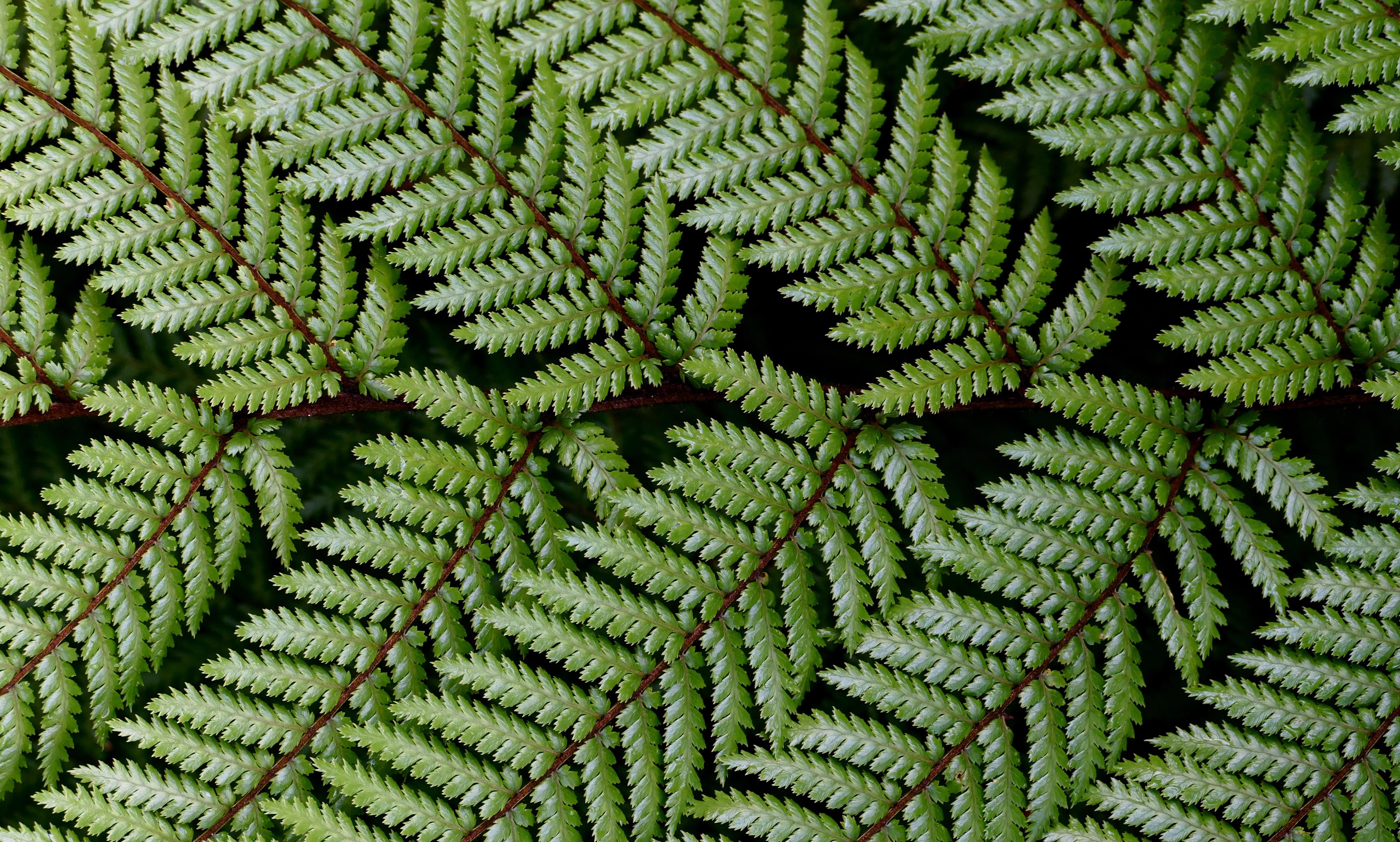 Dicksonia squarrosa wheki. nz fern. photo