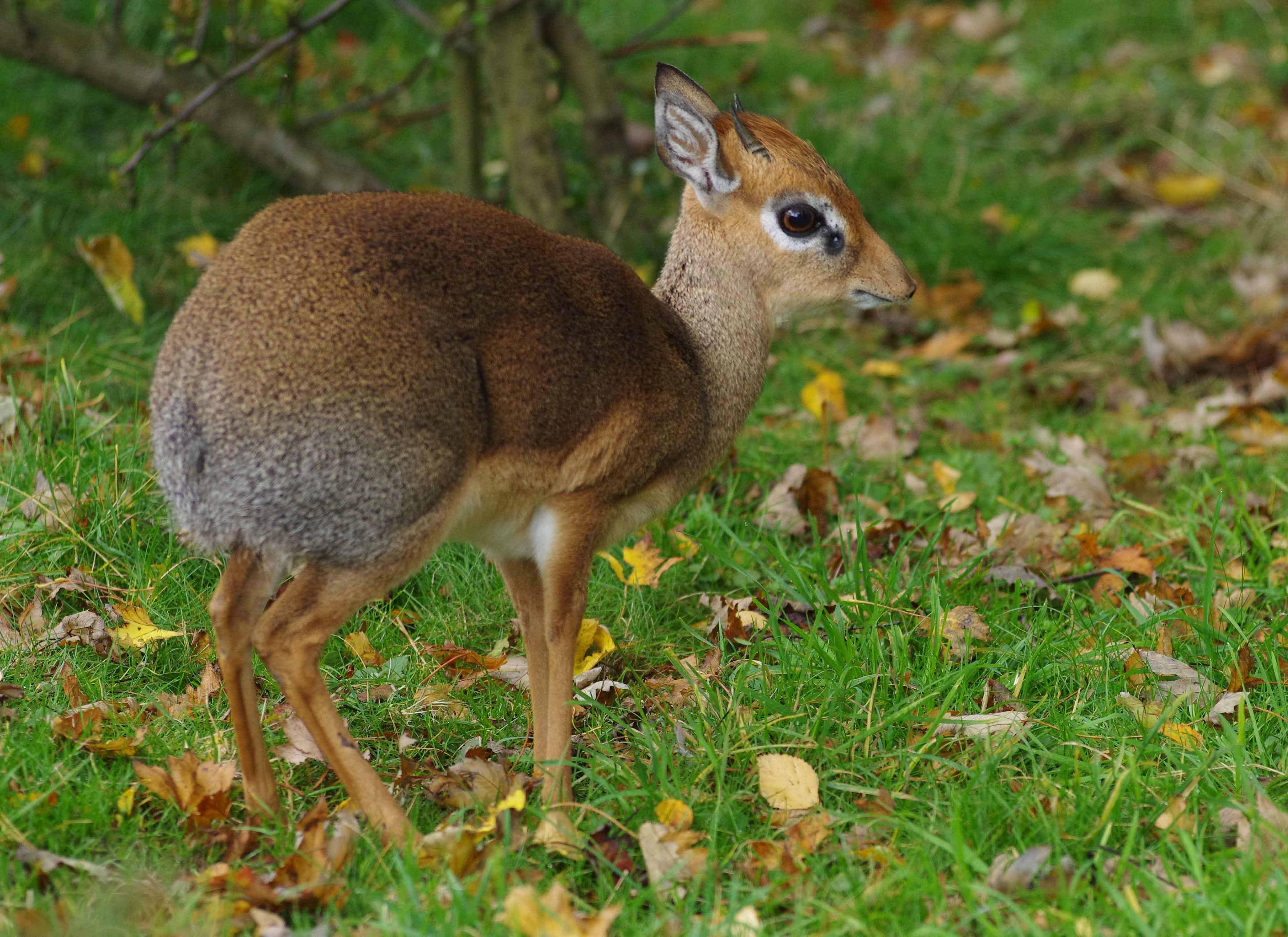 dik dik de kirk - Pesquisa Google | Sectioned Deer, Antelope, Moose ...