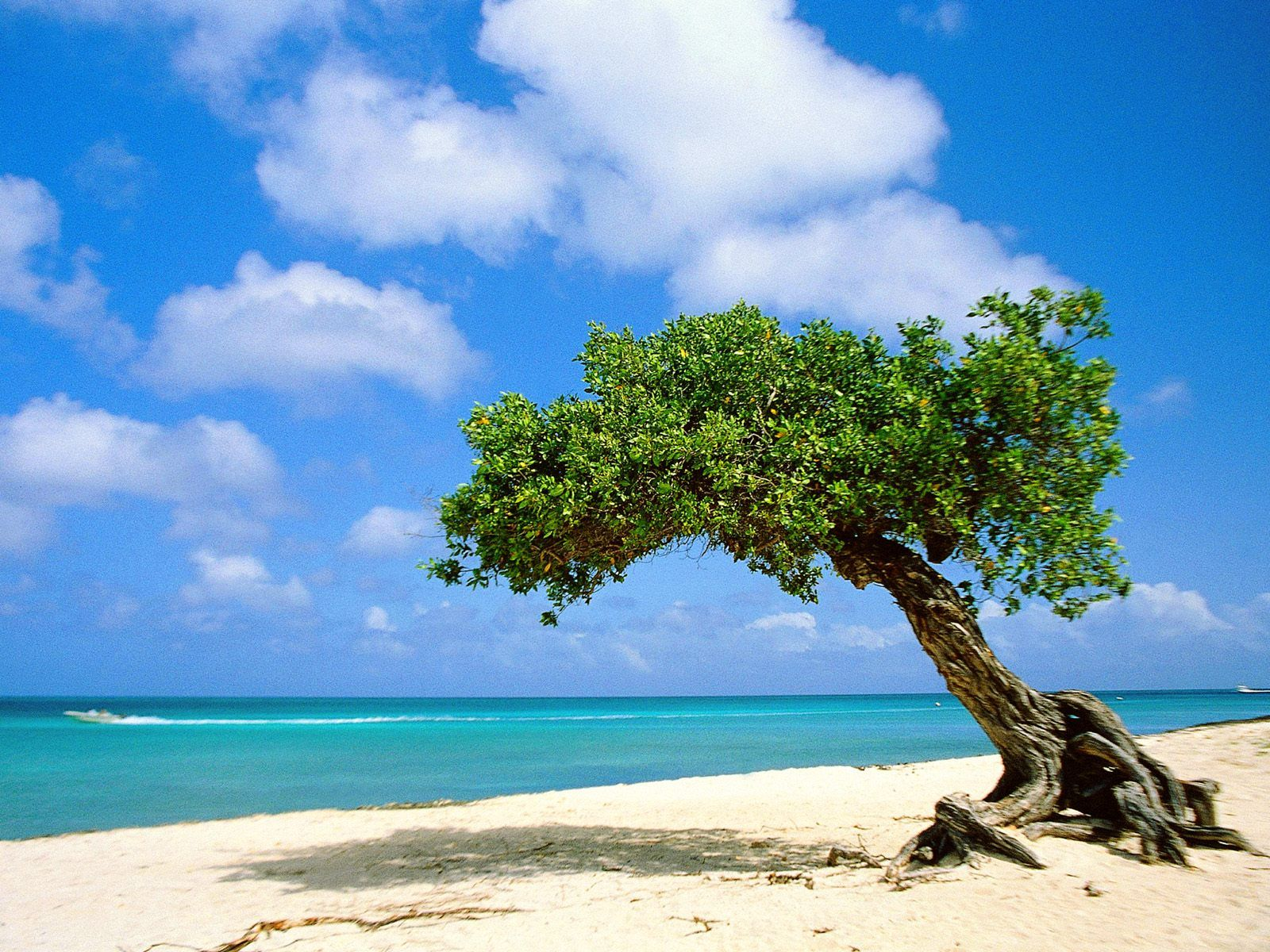 This is one of the wonders of Aruba. The Divi Divi tree withstands ...