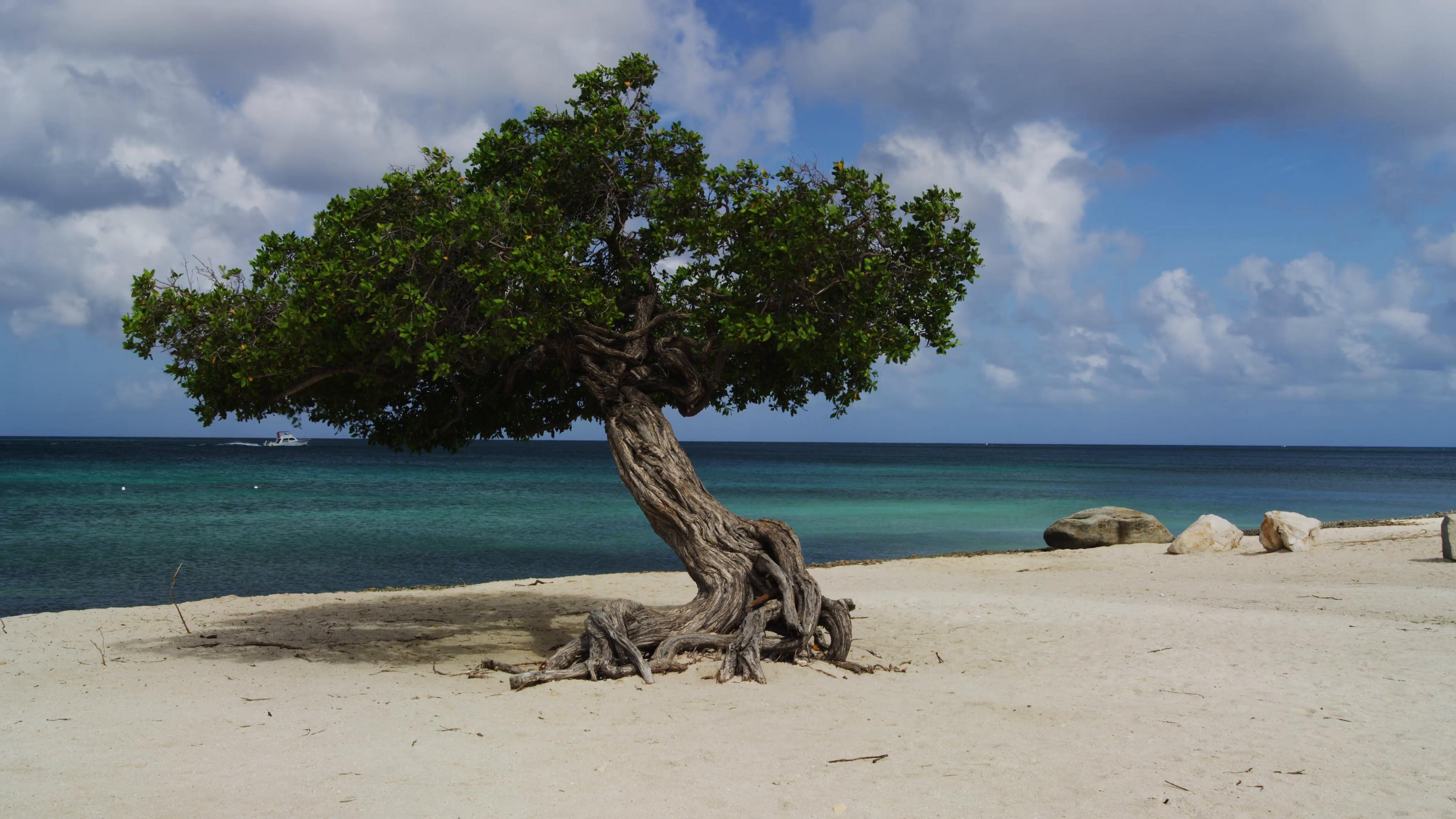 The Divi Divi Tree on Eagle Beach at Sunset, Aruba Stock Video ...