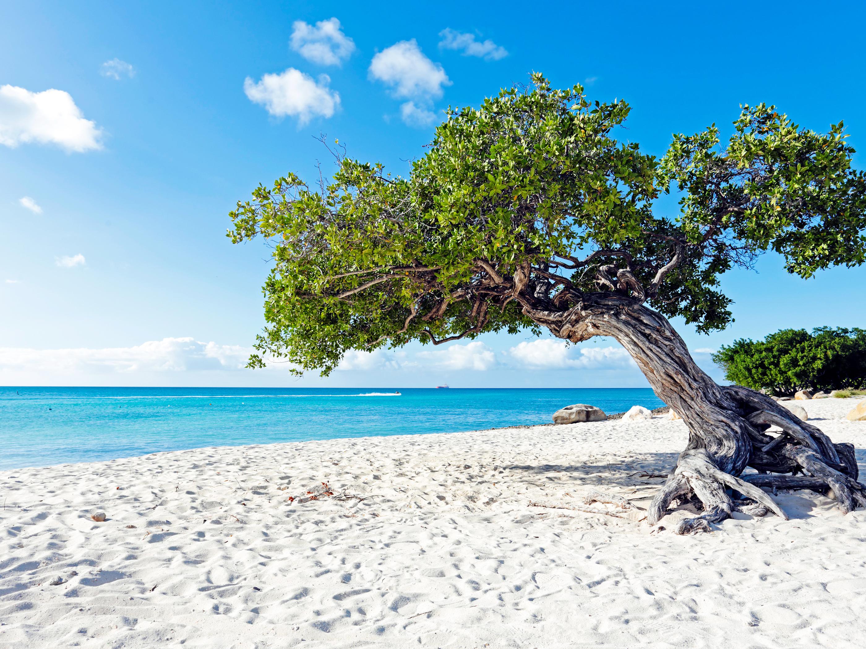 Divi-divi boom tree at the sunny beach in Aruba - Beach Wallpapers