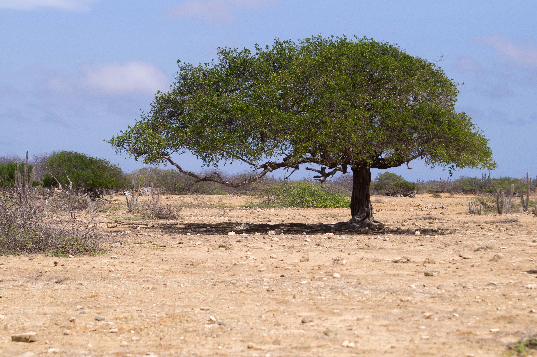 Divi Divi Tree, Bonaire, Caribbean, Tree, HQ Photo