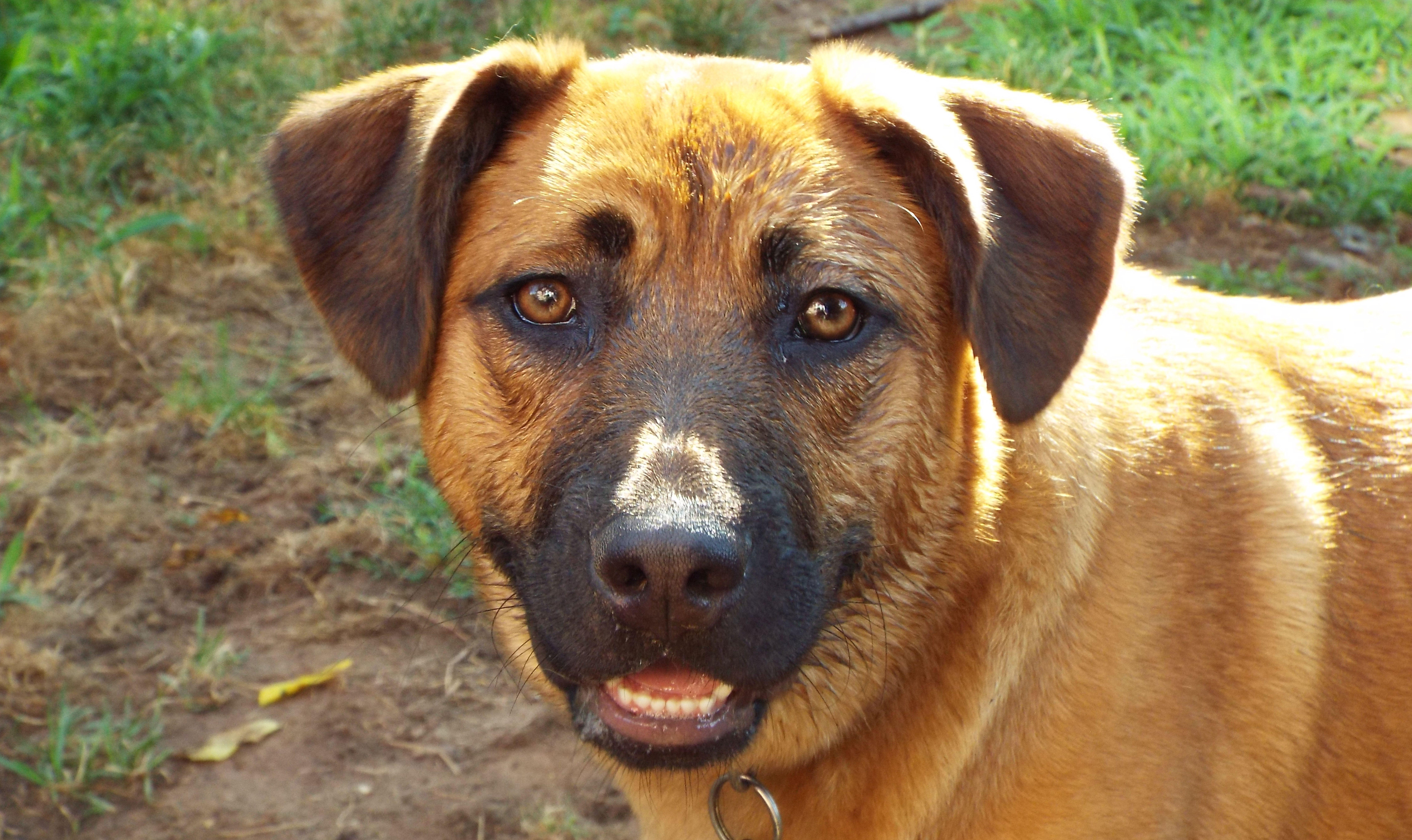 Black Mouth Cur Dog Breed Information & Pictures – Dogtime