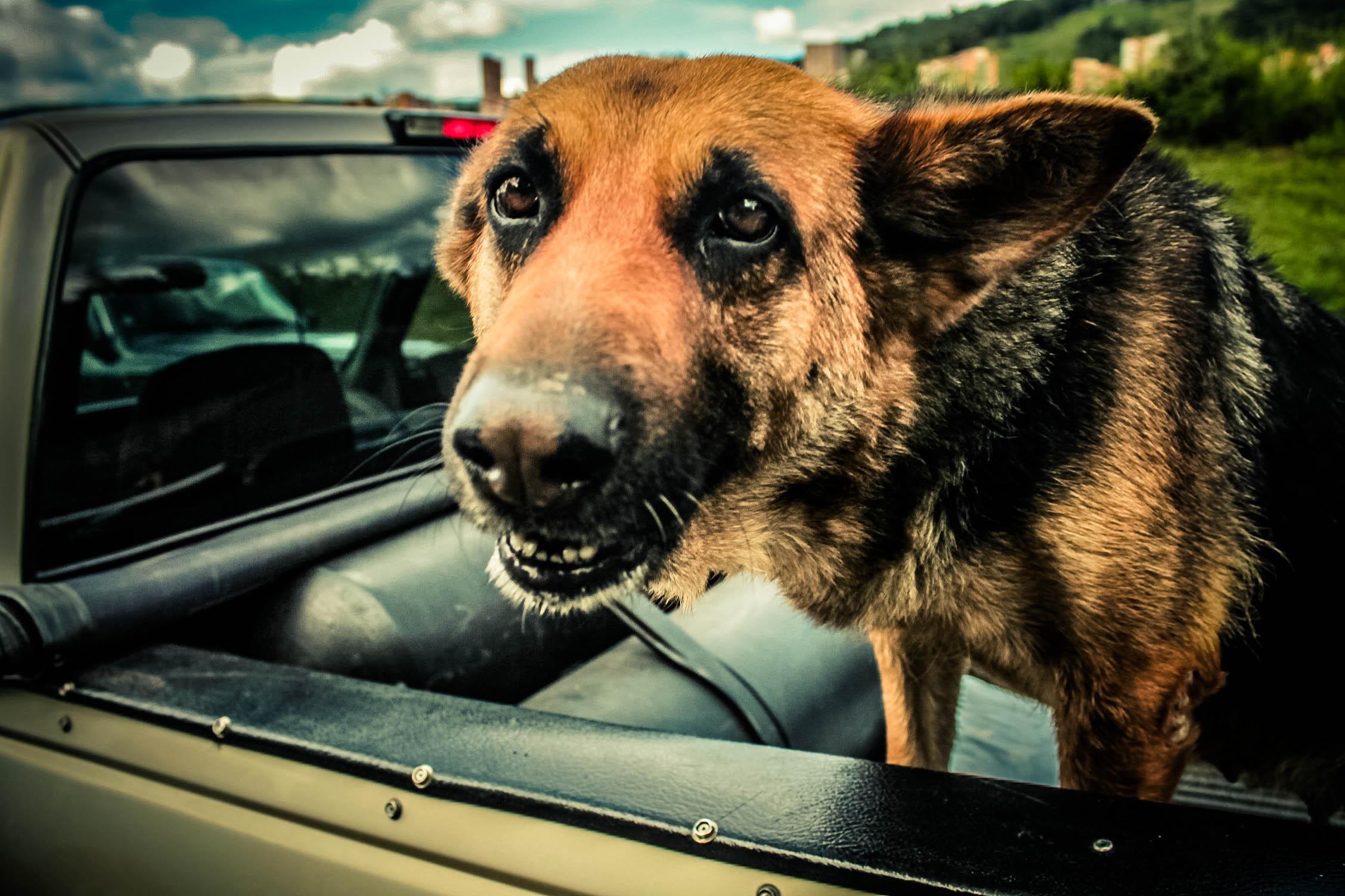 Dog, Animal, Car, HQ Photo
