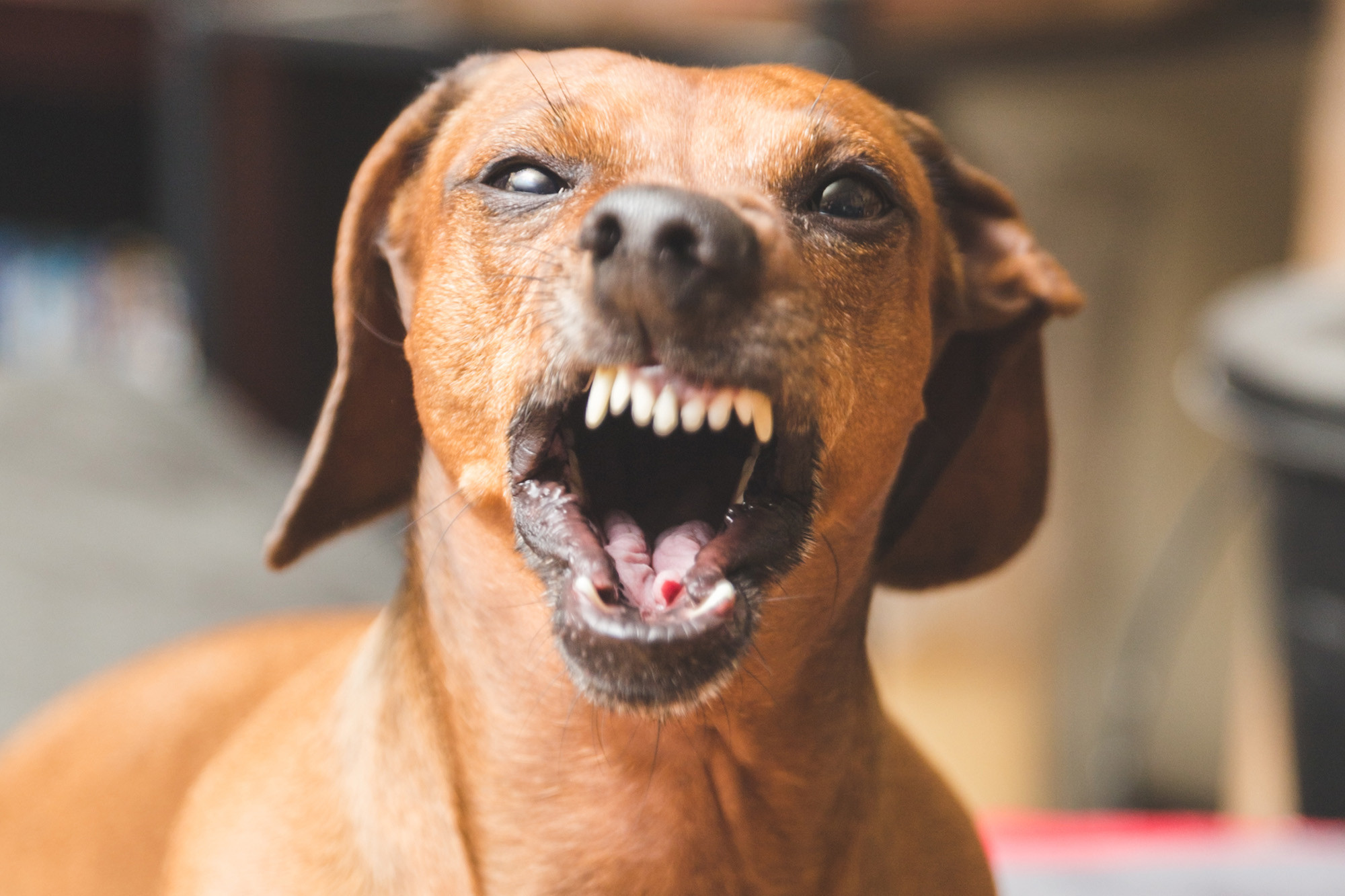 Pack of wiener dogs mauls woman to death