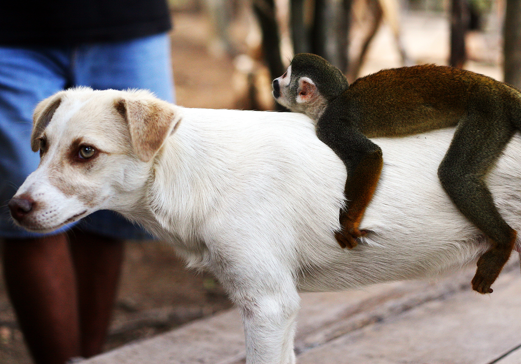 Monkey Becomes Mom Dog's Best Friend After She Loses Her Puppies ...