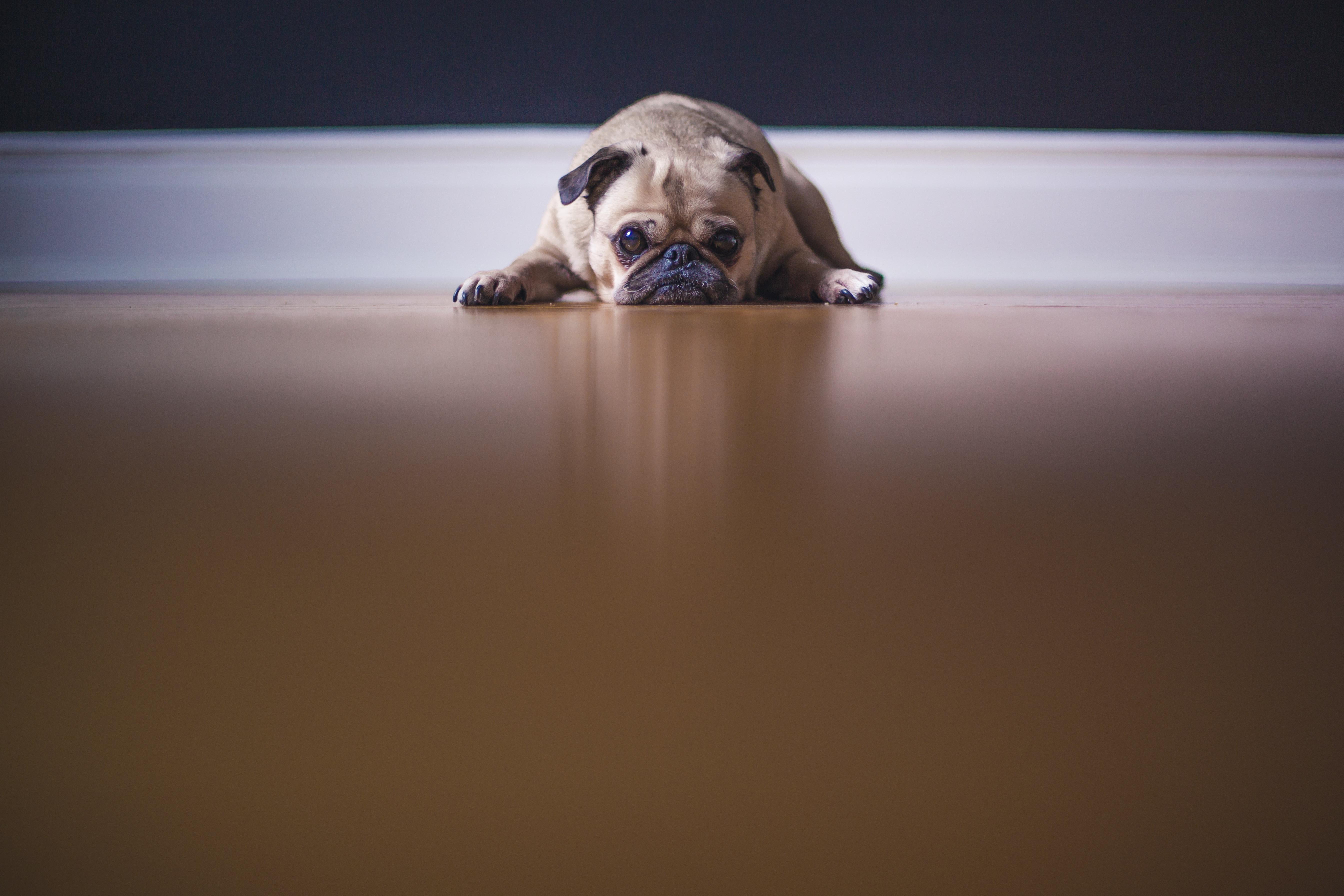 Dog, Lying, Pet, Lye, Favorite, HQ Photo
