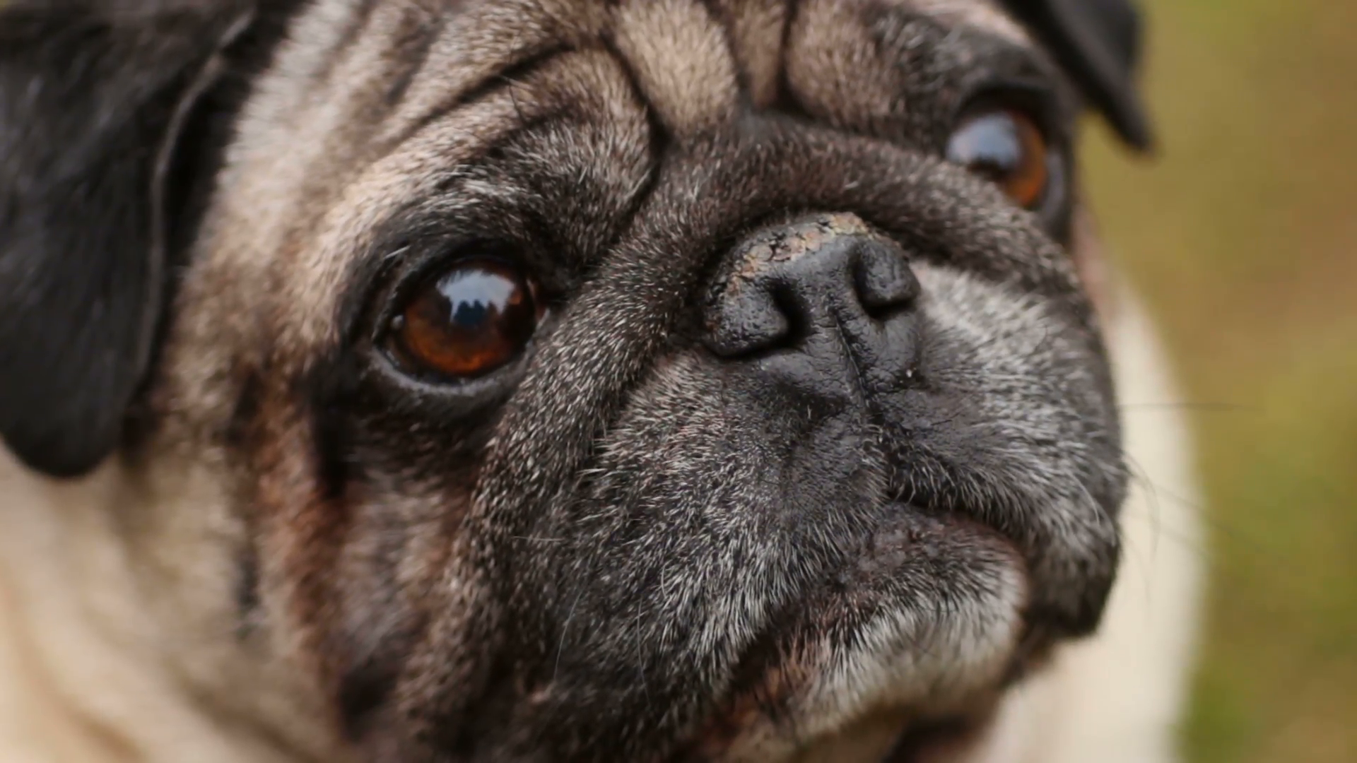 Closeup of wrinkly pug face, sick dog smelling air with dry nose ...