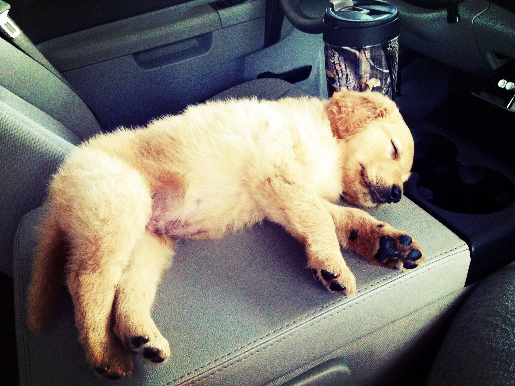Golden retriever puppy sleeping on the center console of daddy's ...