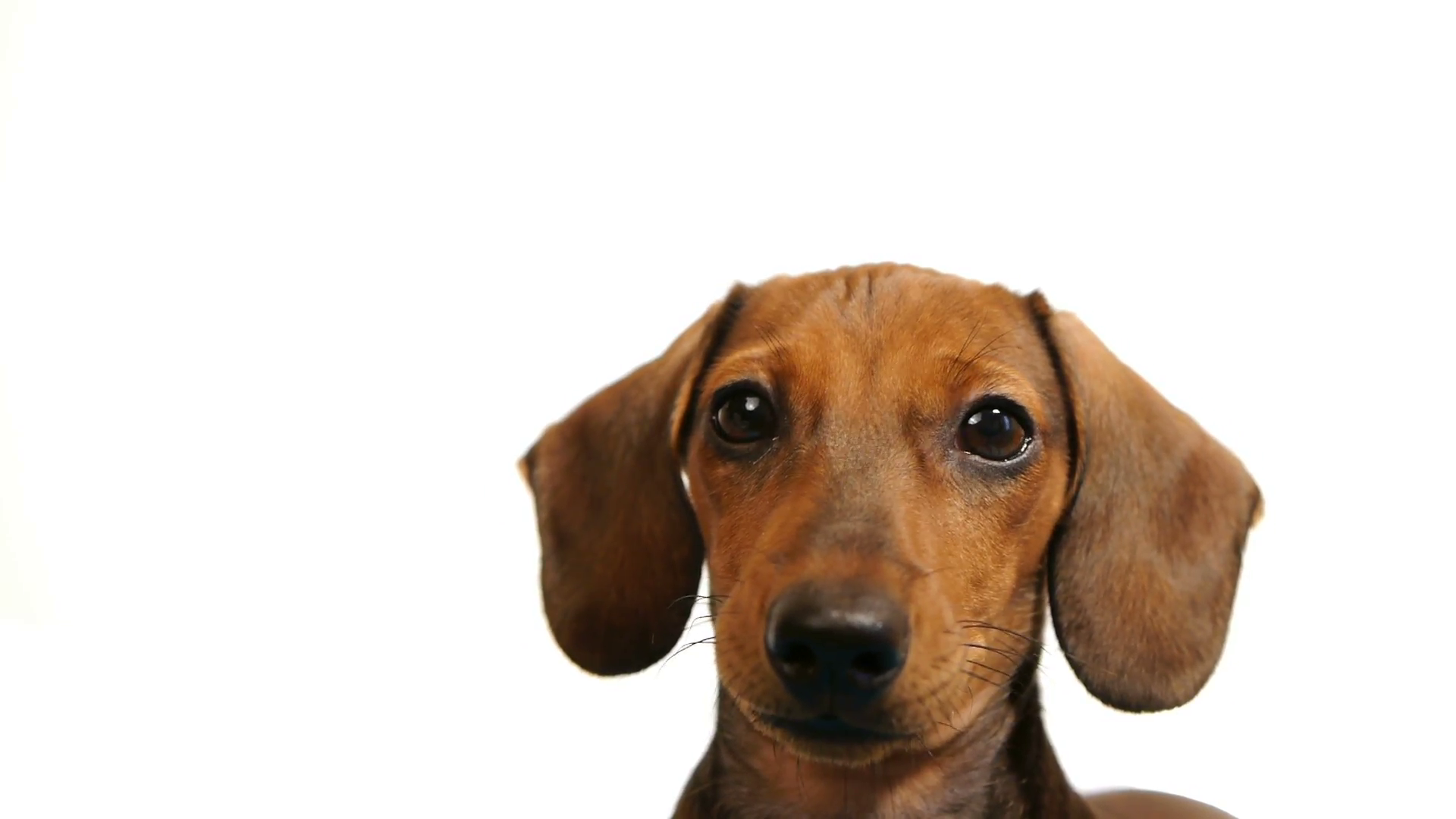 HD - Dachshund. dog`s head Stock Video Footage - Videoblocks
