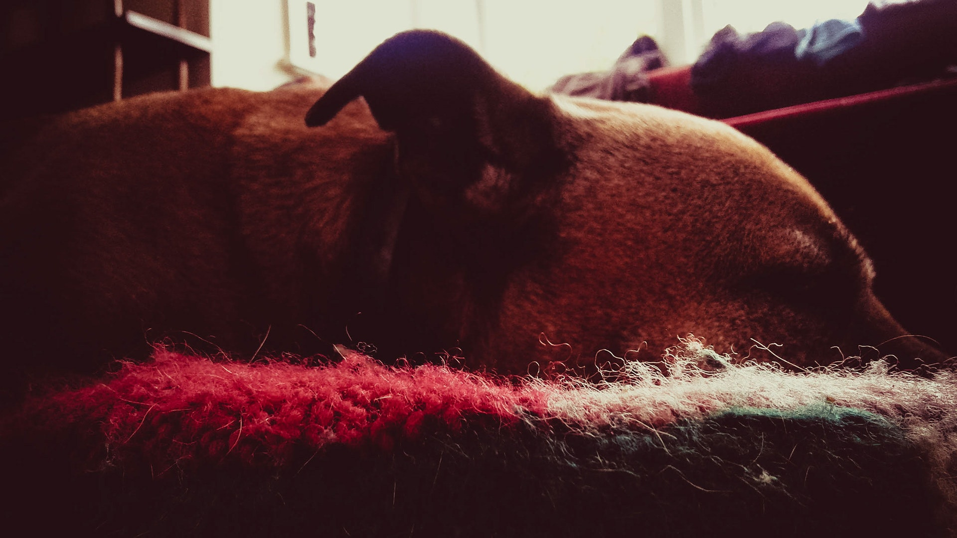 Dog on Area Mat, Adorable, Indoors, Sleeping, Side view, HQ Photo