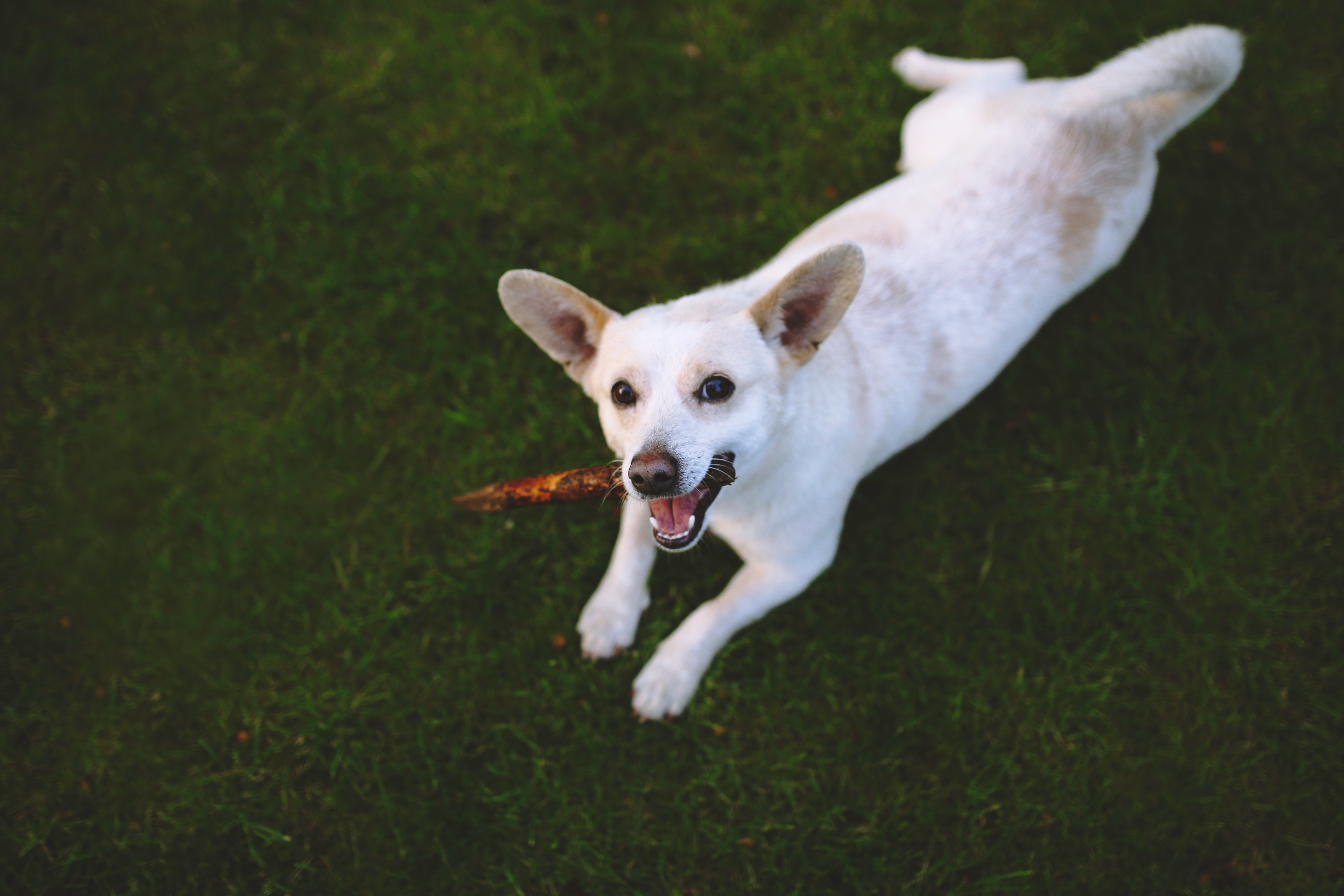 Dog on the grass, Animal, Outdoors, White, Toy, HQ Photo