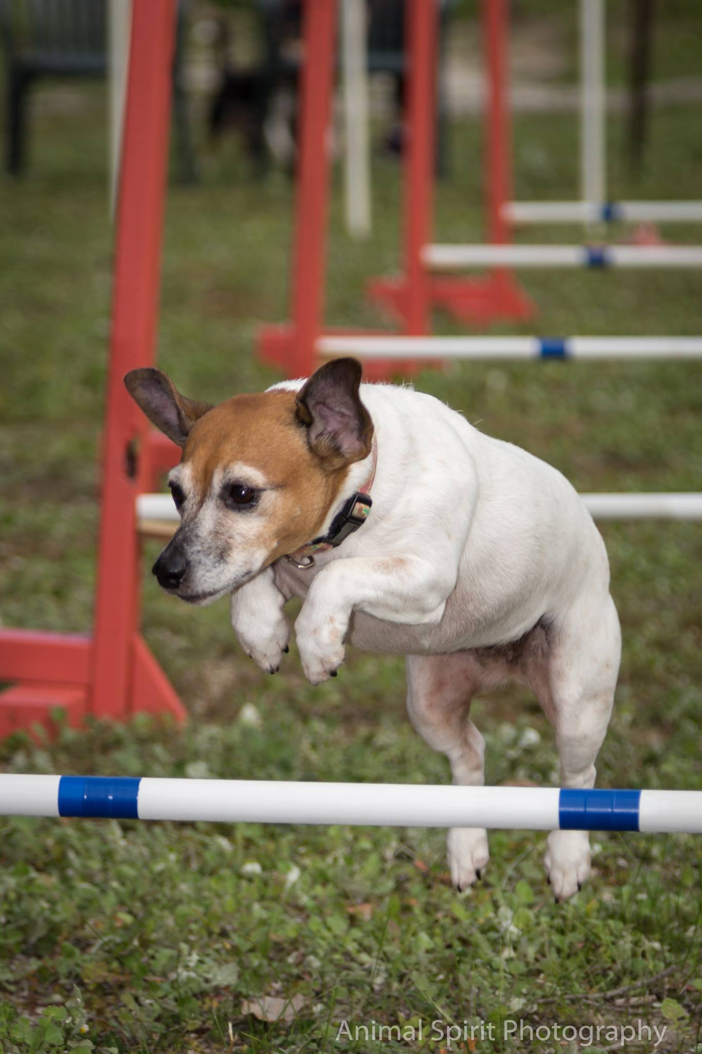 Dog Agility Open Day - Perth