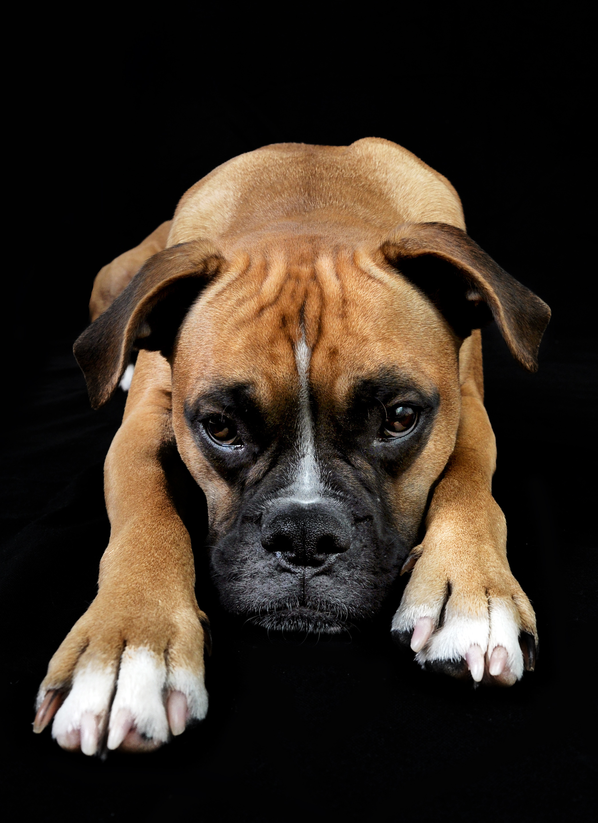 Dog portrait, Angry, Face, Studio, Sad, HQ Photo