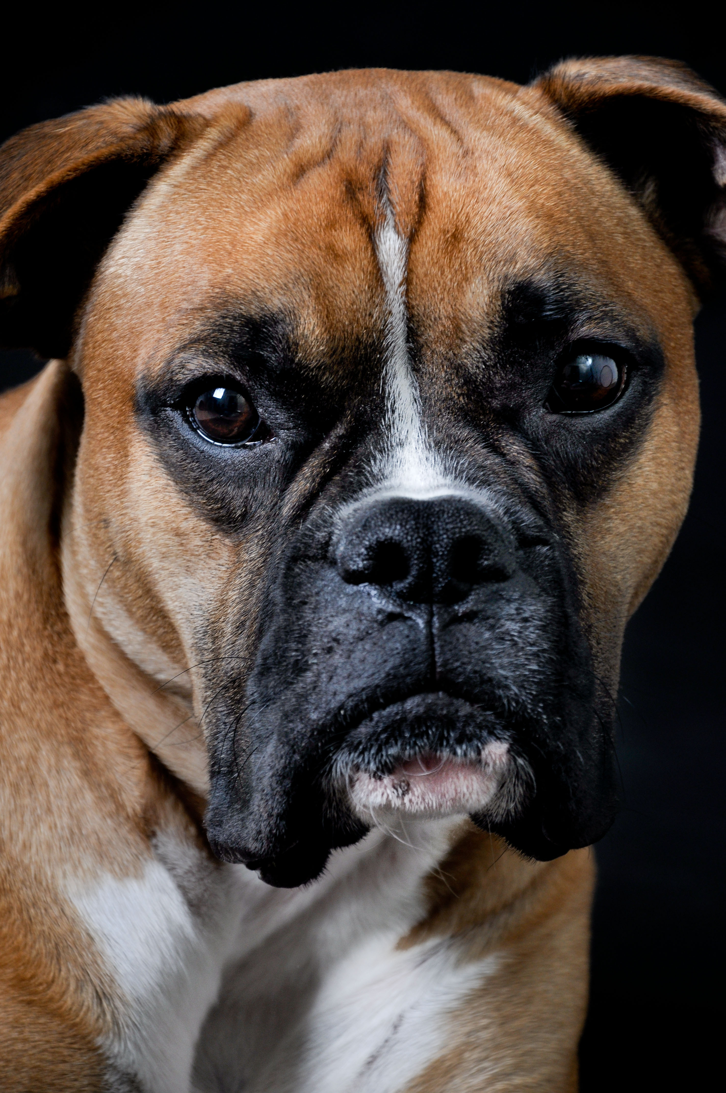 Dog portrait, Angry, Face, Studio, Sad, HQ Photo