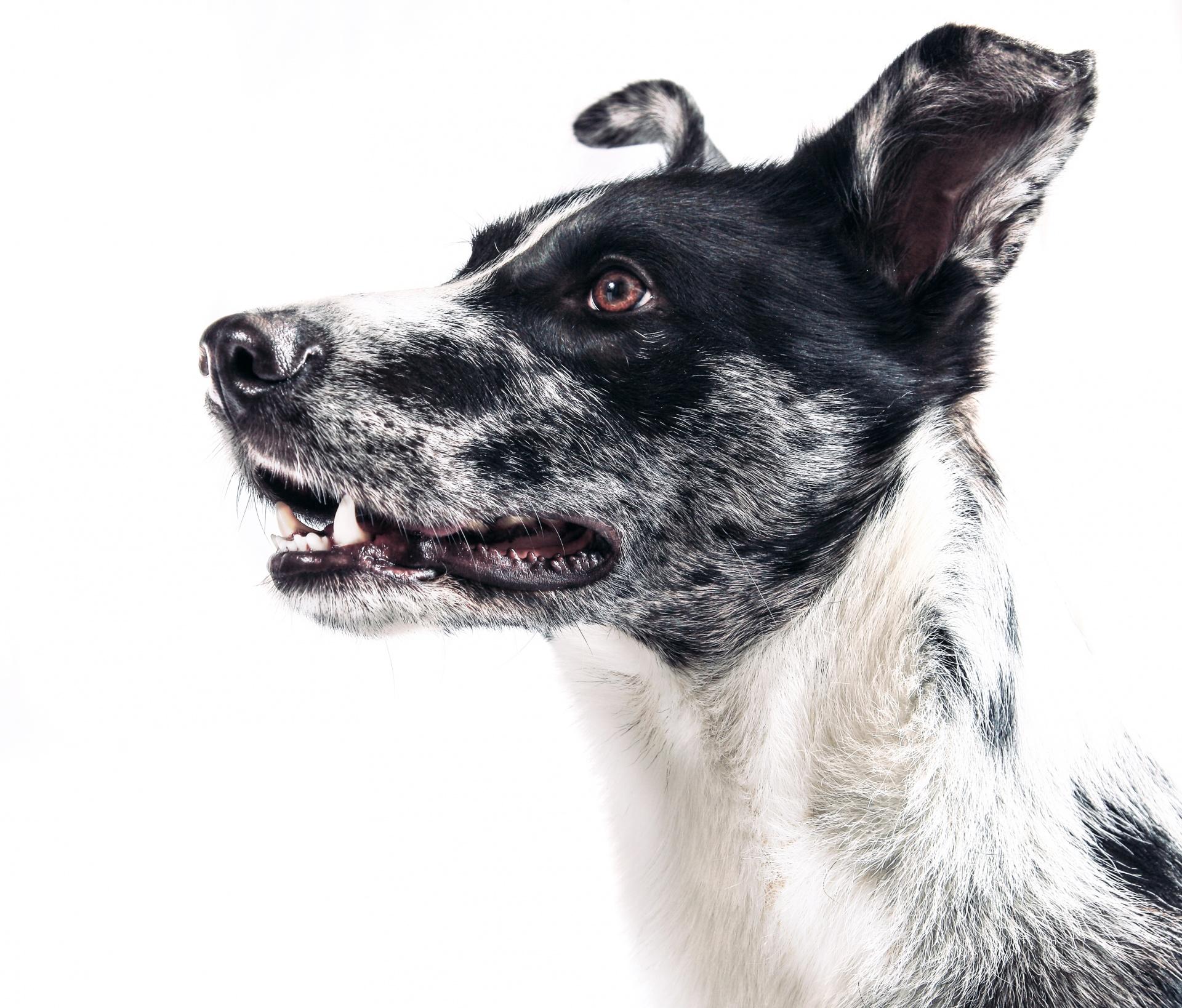Dog Portrait Free Stock Photo - Public Domain Pictures
