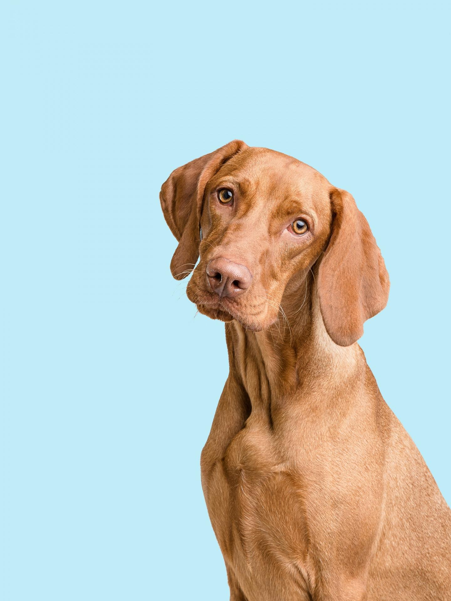 Dog Portrait Vizsla Free Stock Photo - Public Domain Pictures