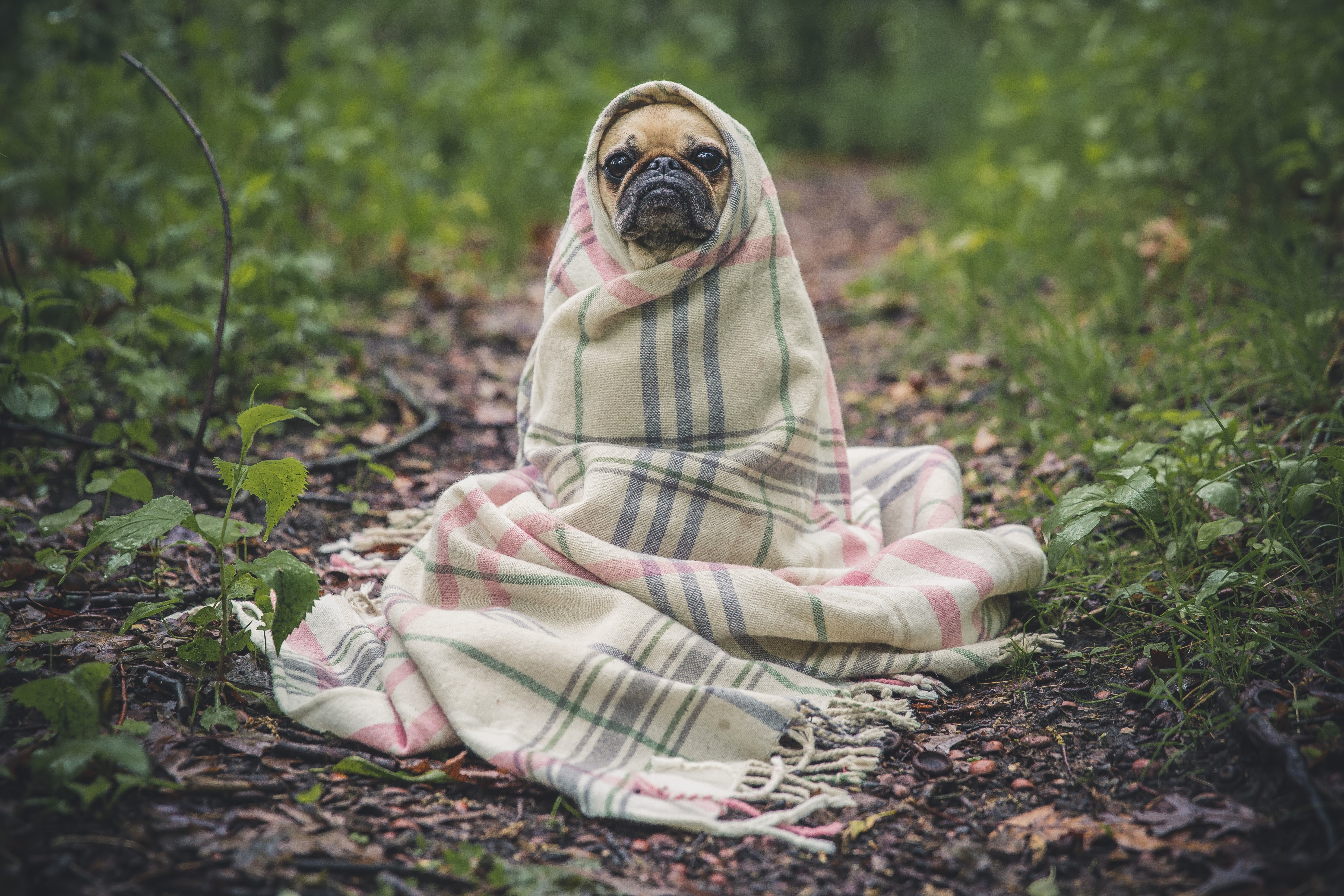 Dog wrapped in blanket photo