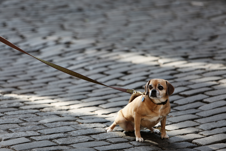 Dog, leading the subject