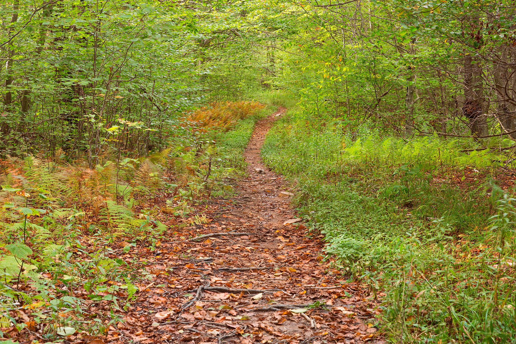 Dolly sods wildlife forest trail photo