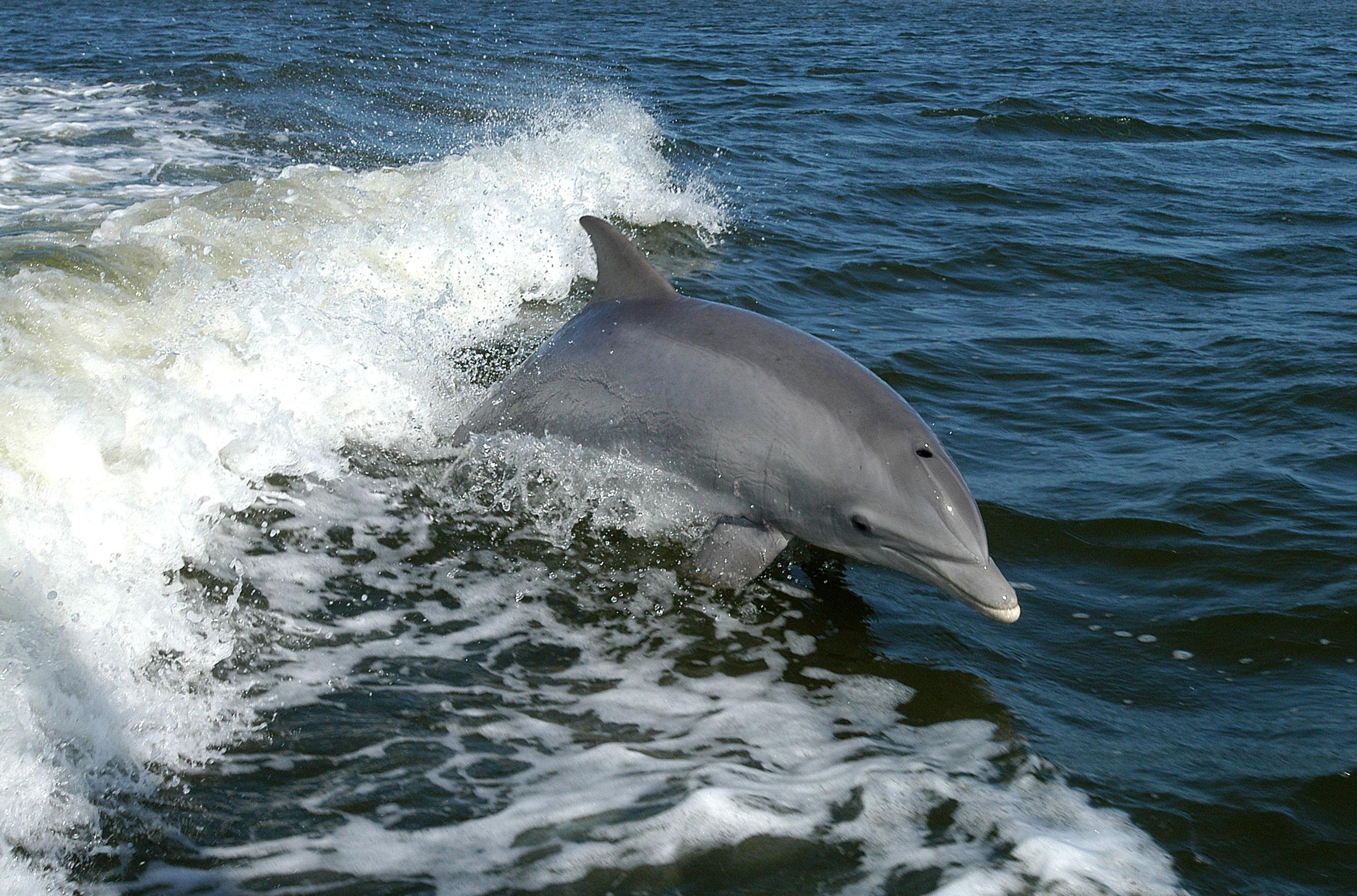 Dolphin - Wikipedia