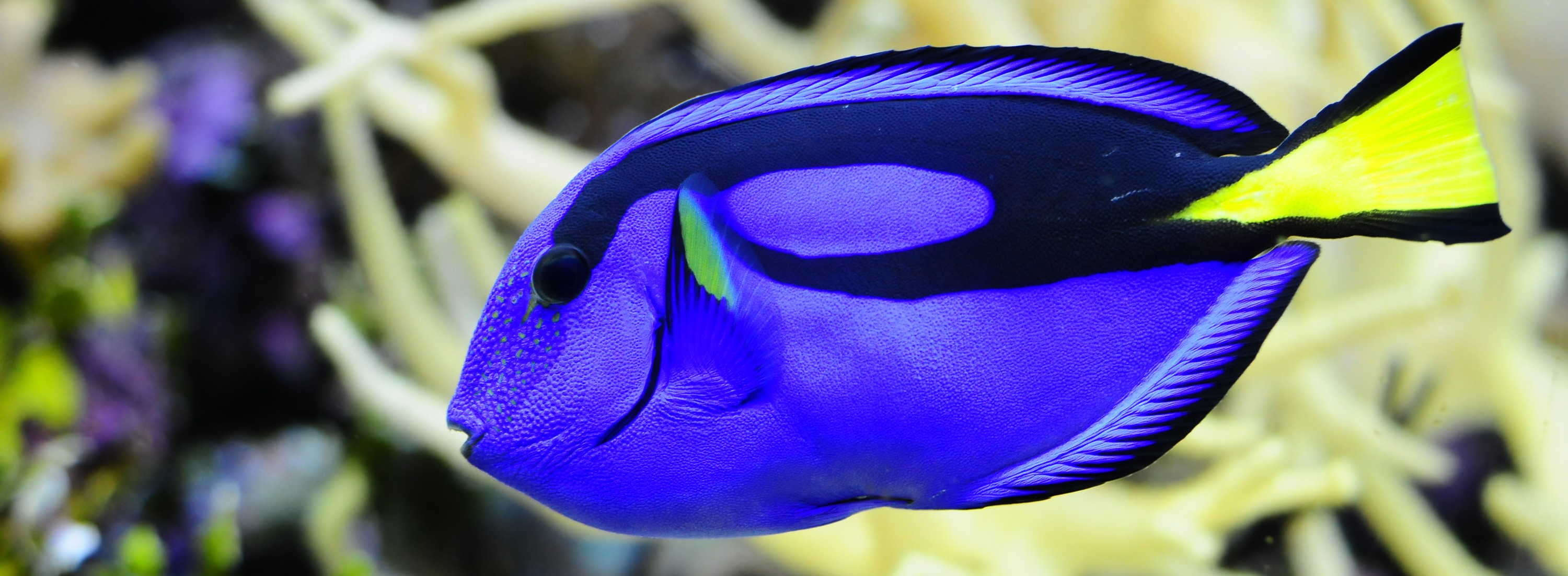 Finding Dory: Blue Tang Fact or Fiction