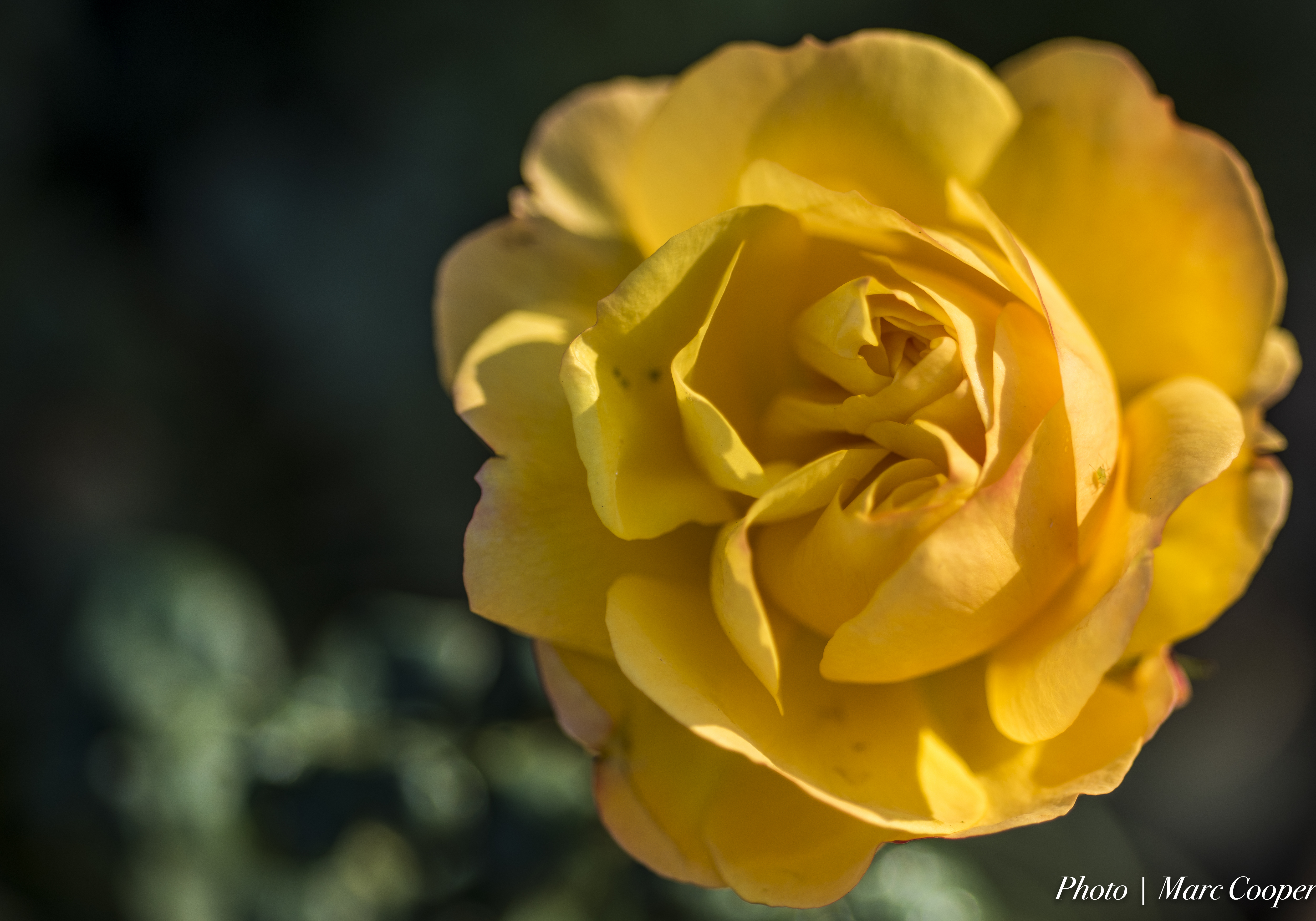 Double Hearted Rose, Calabasas, D810, Depth of field, Flower, HQ Photo