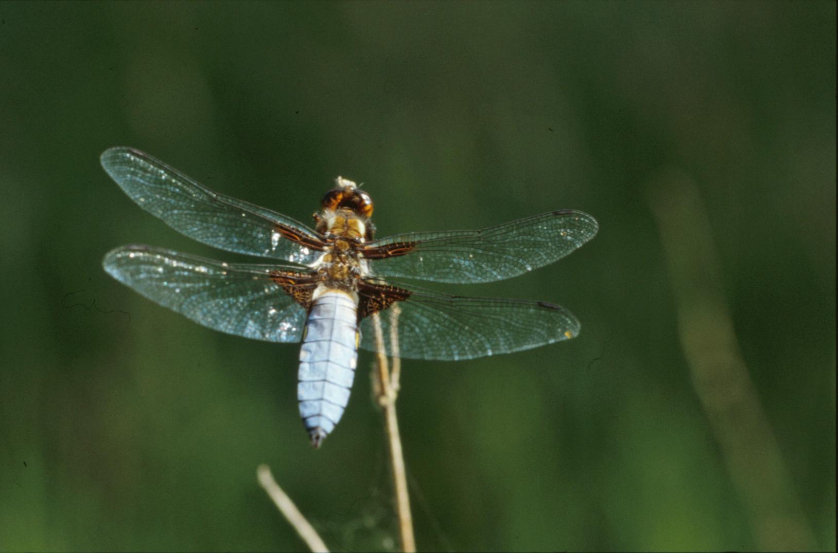 free photo dragonfly macro plants wings free download jooinn